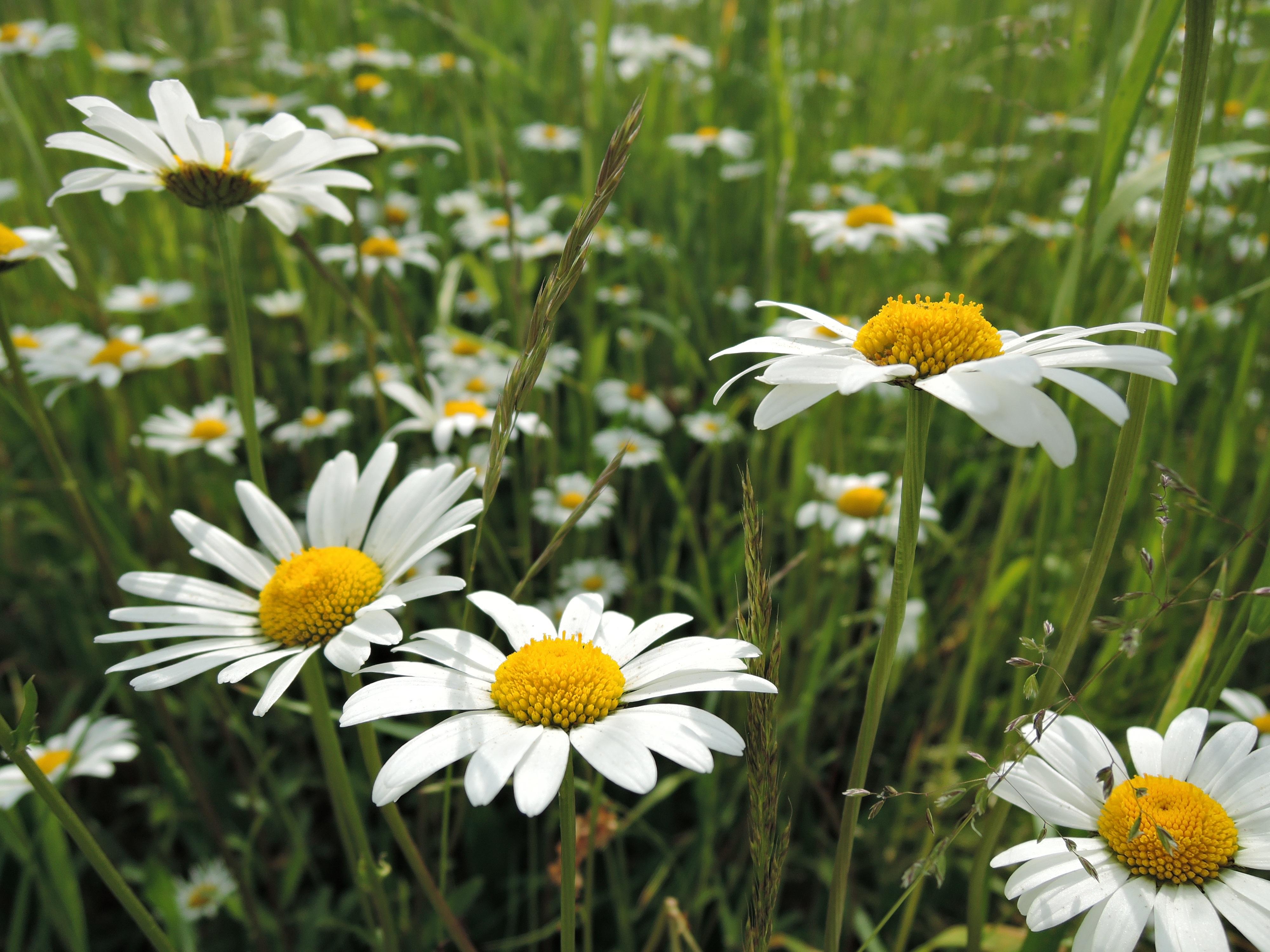 Images Gratuites La Nature Herbe Soleil Blanc Champ Prairie