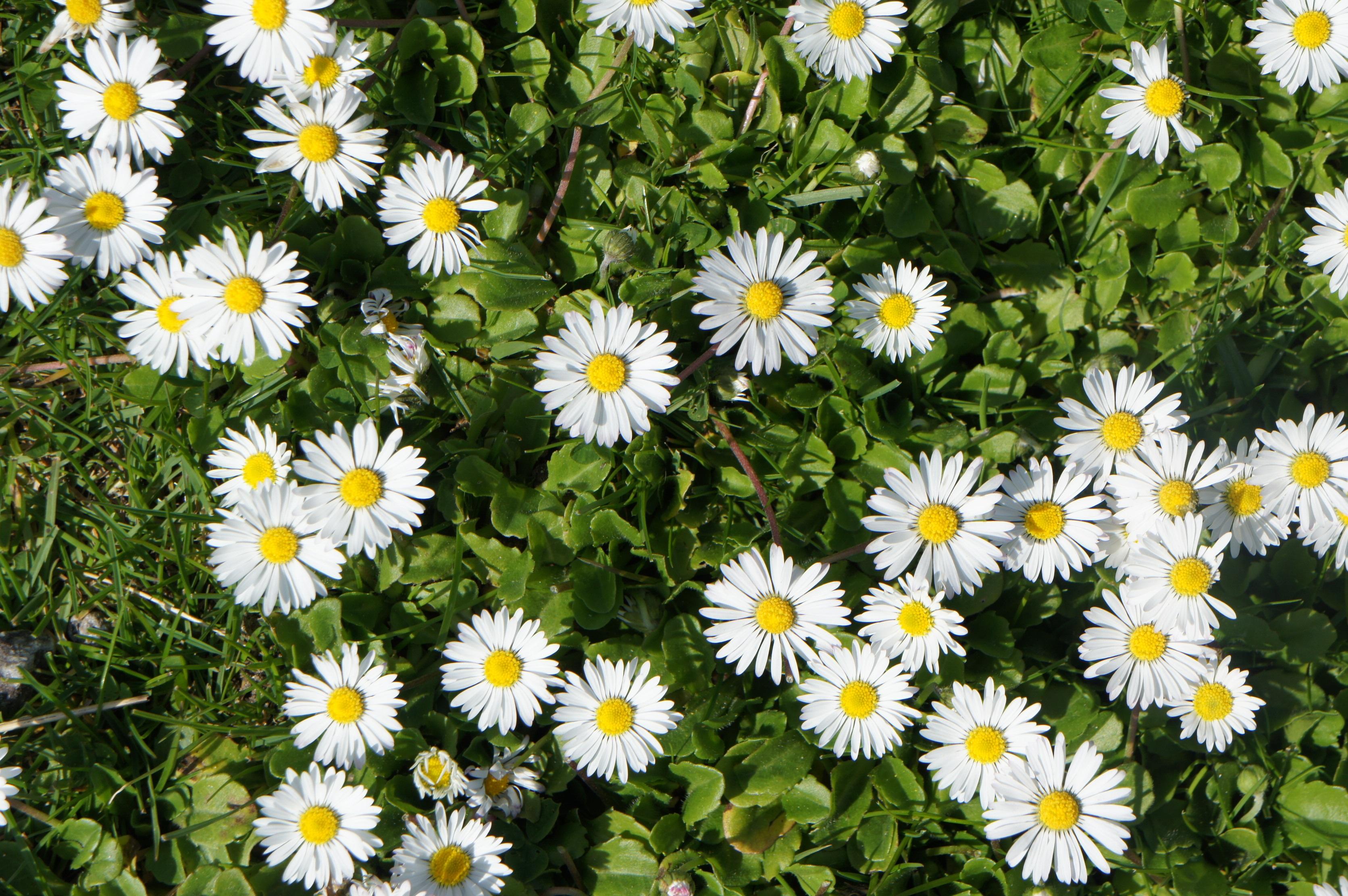 Fleurs marguerites blanches - Fleurs des champs blanches ...