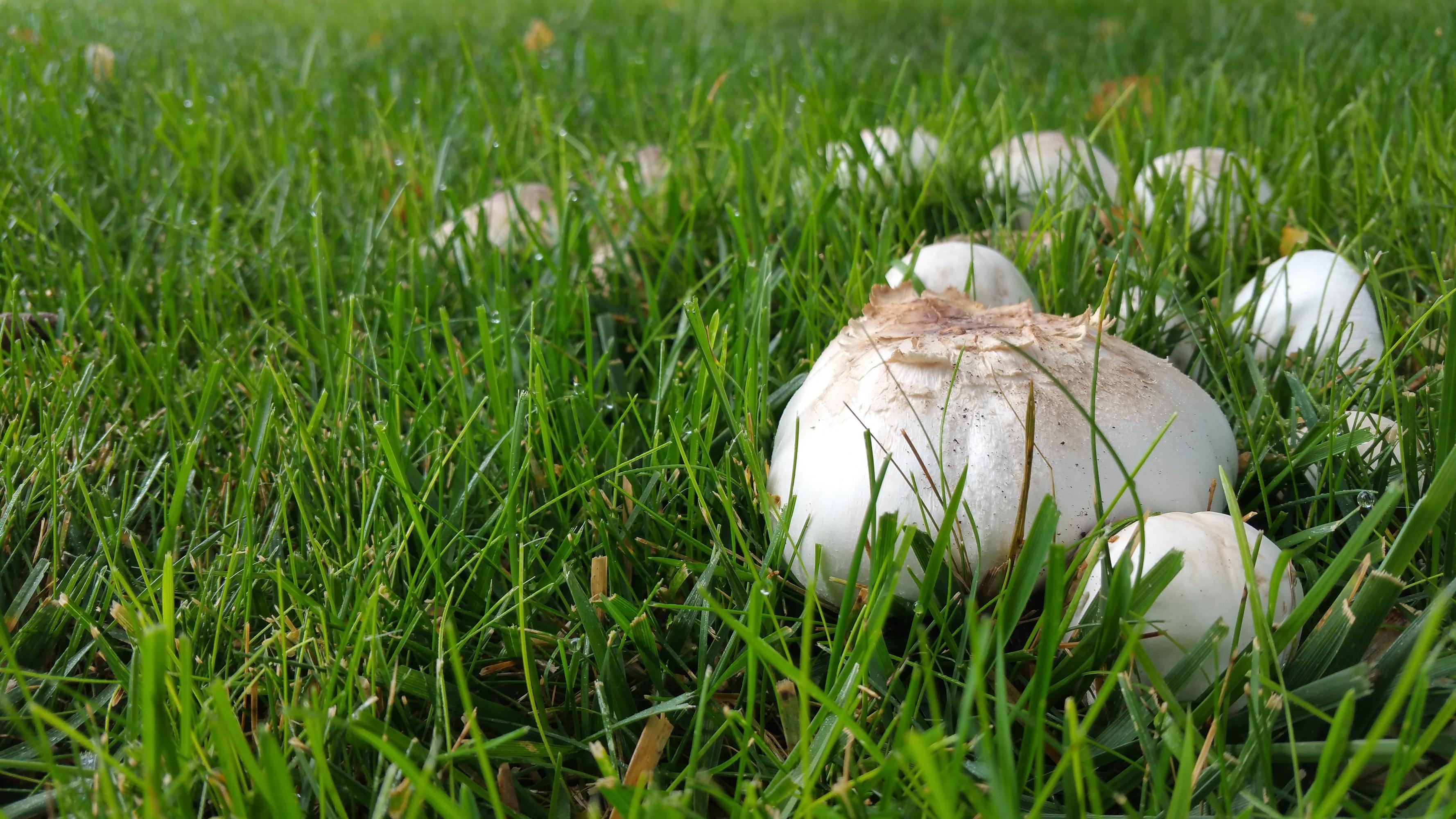 Images gratuites la nature herbe plante blanc champ for Hongos en el cesped jardin