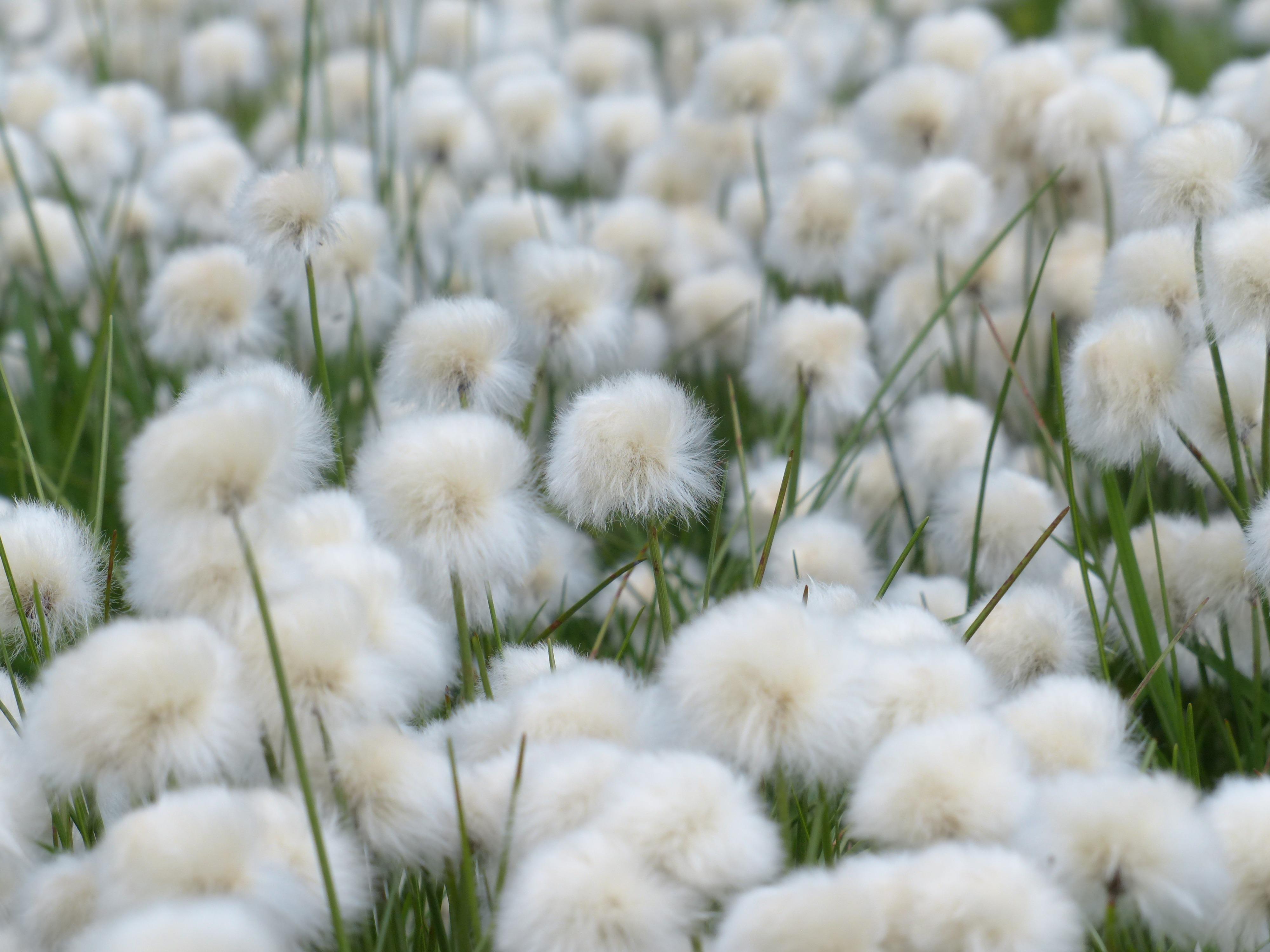 Préférence Images Gratuites : la nature, herbe, blanc, champ, Prairie  UX67