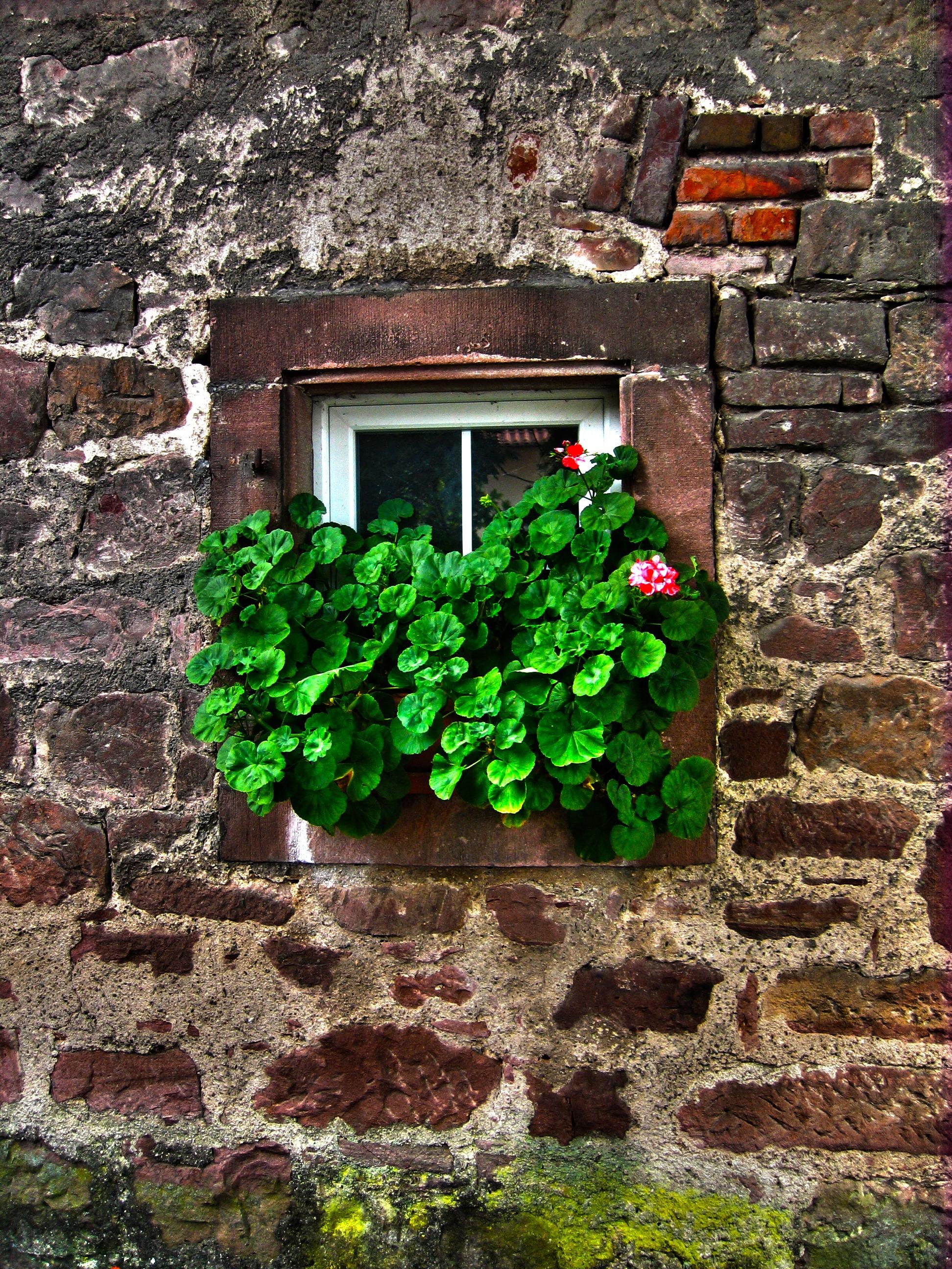 Anspruchsvoll Blickfang Alte Zeiten Referenz Von Blume, Fenster, Alt, Mauer, Stein, Grün, Efeu,