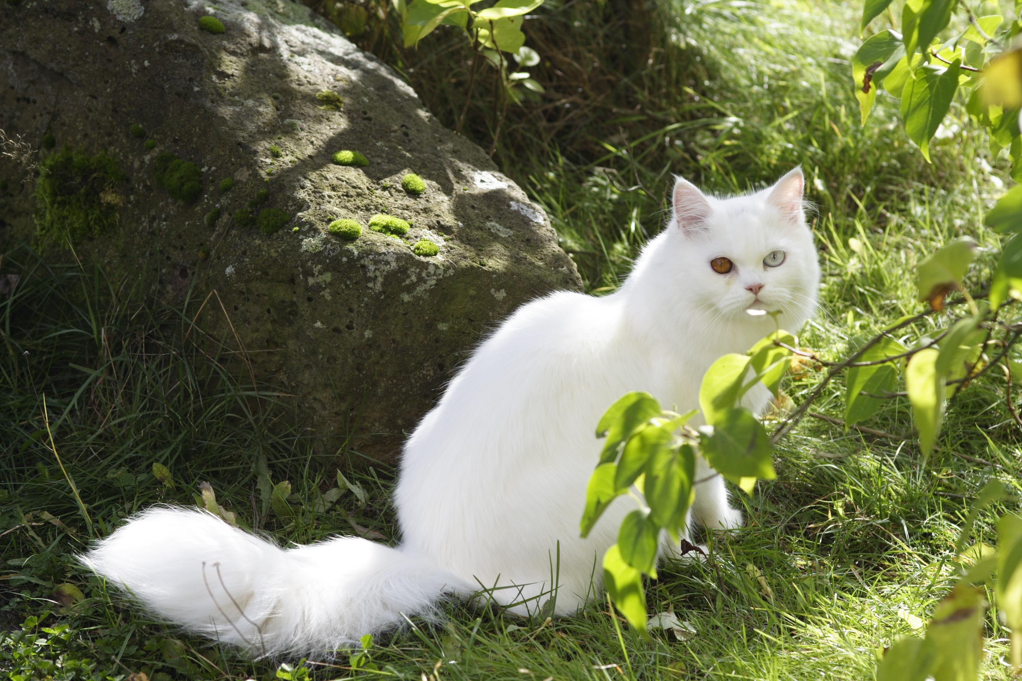 Картинки белого кошки