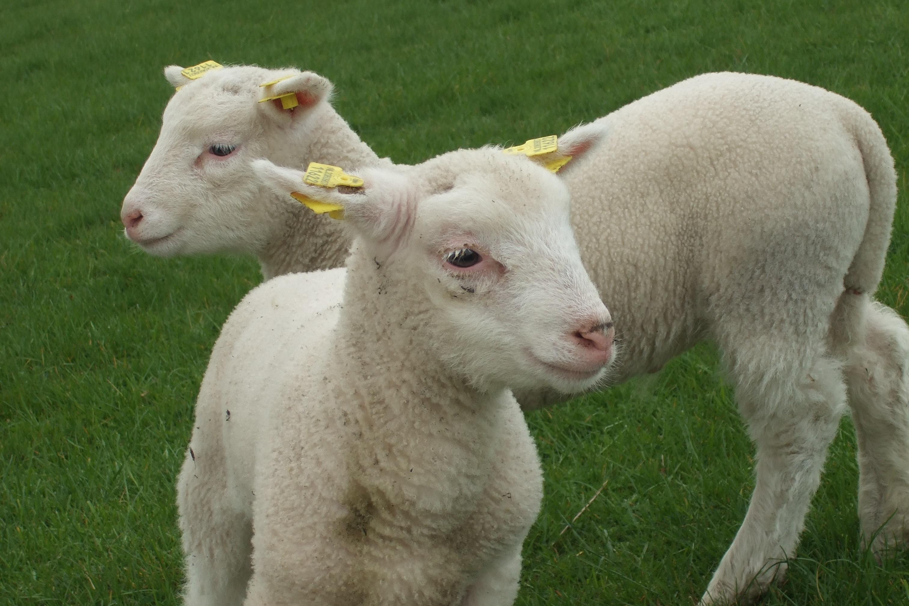 Images gratuites la nature herbe blanc champ ferme - Photos de moutons gratuites ...