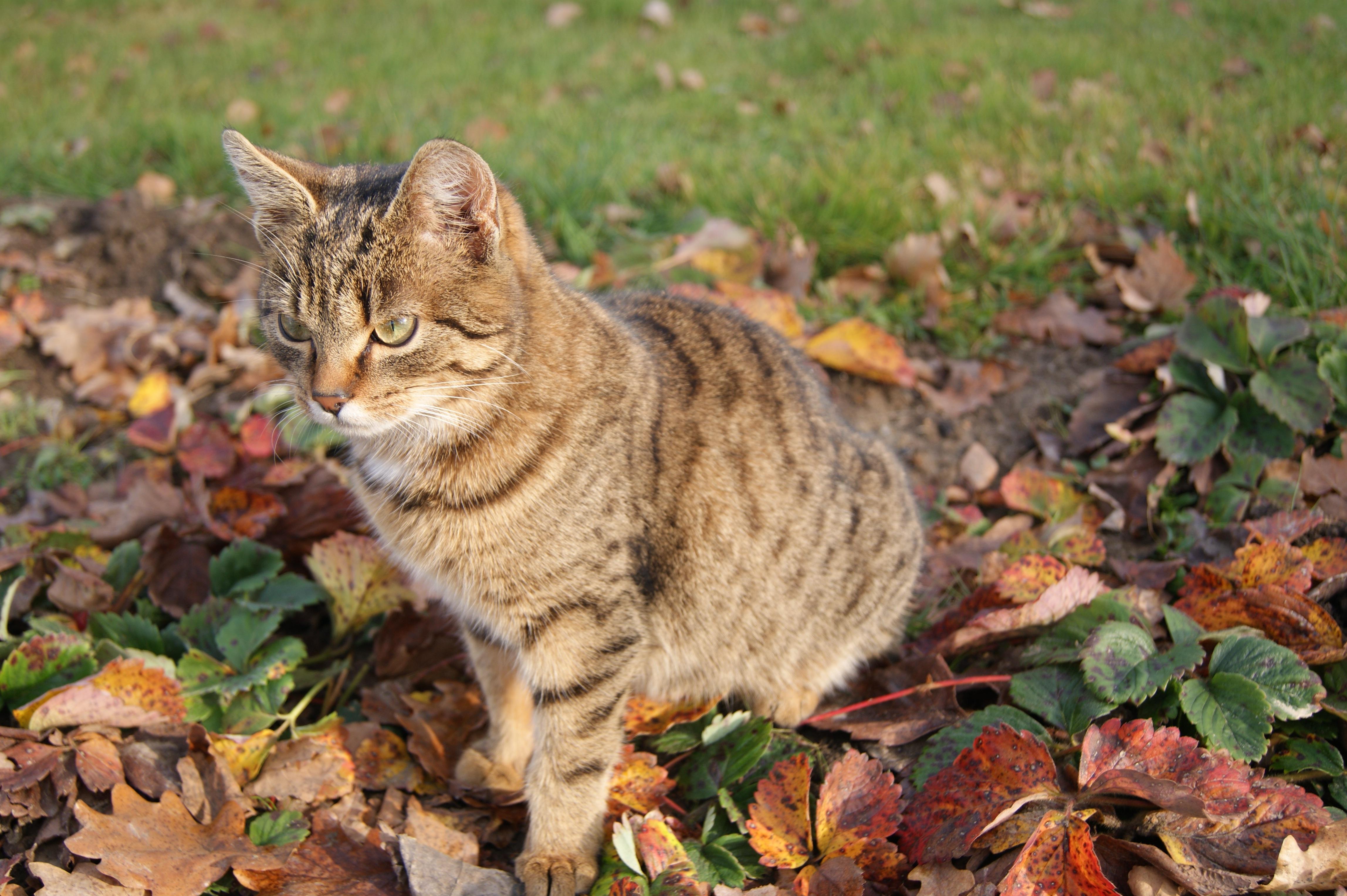 Gambar Kucing Emas godean.web.id
