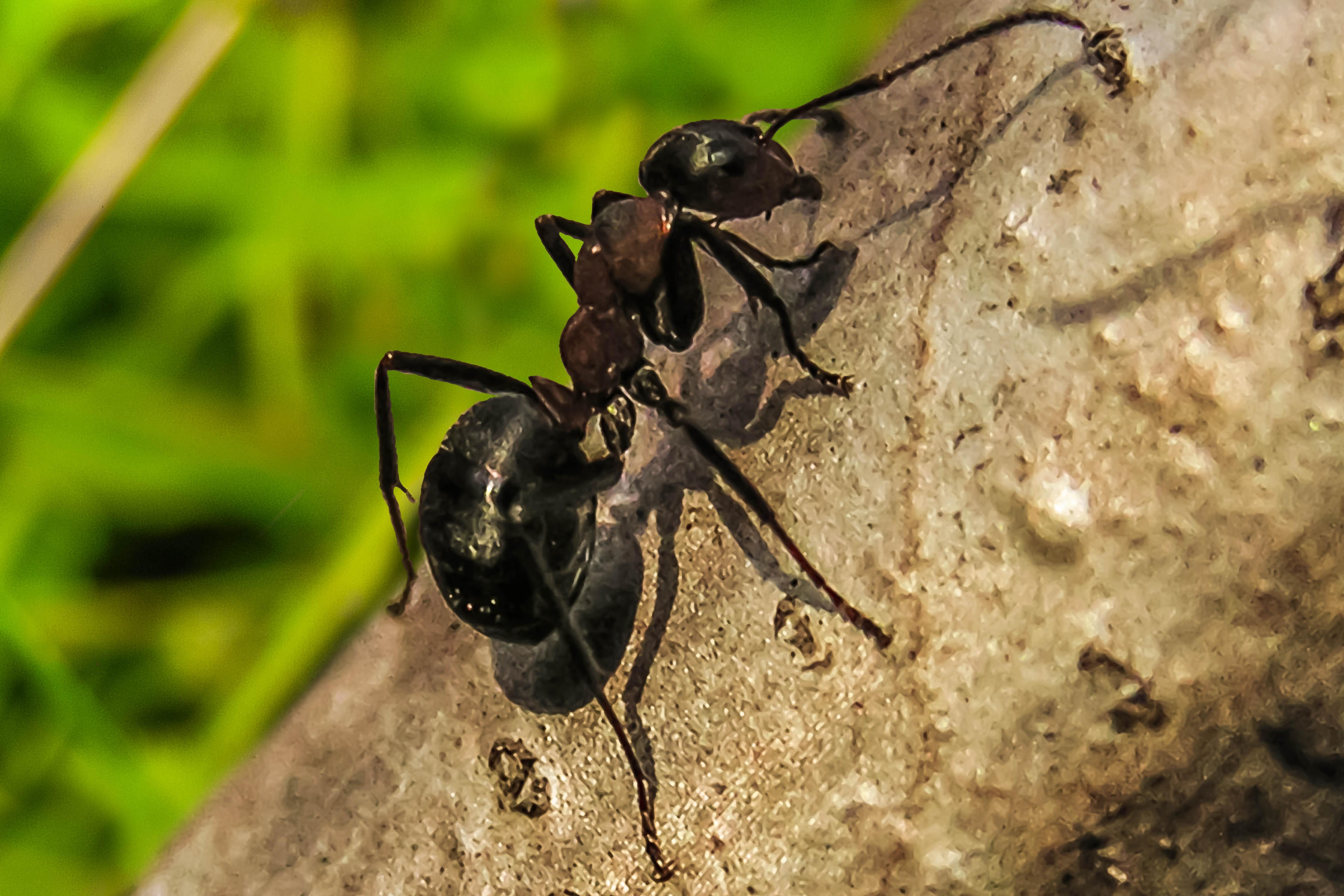 очень муравей фото или картинки тесто