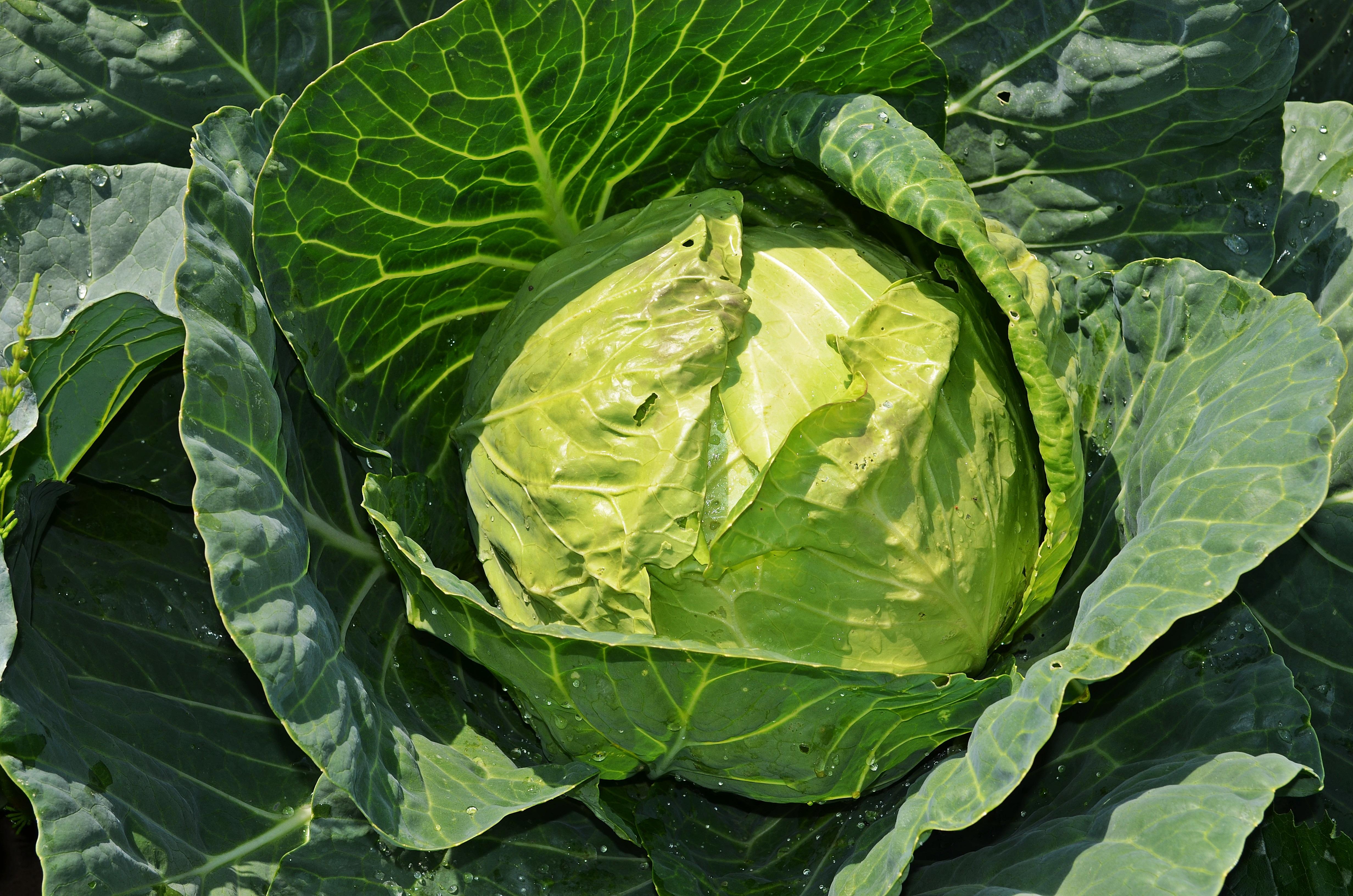 무료 이미지 : 녹색, 생기게 하다, 야채, 자연스러운, 신선한 ...