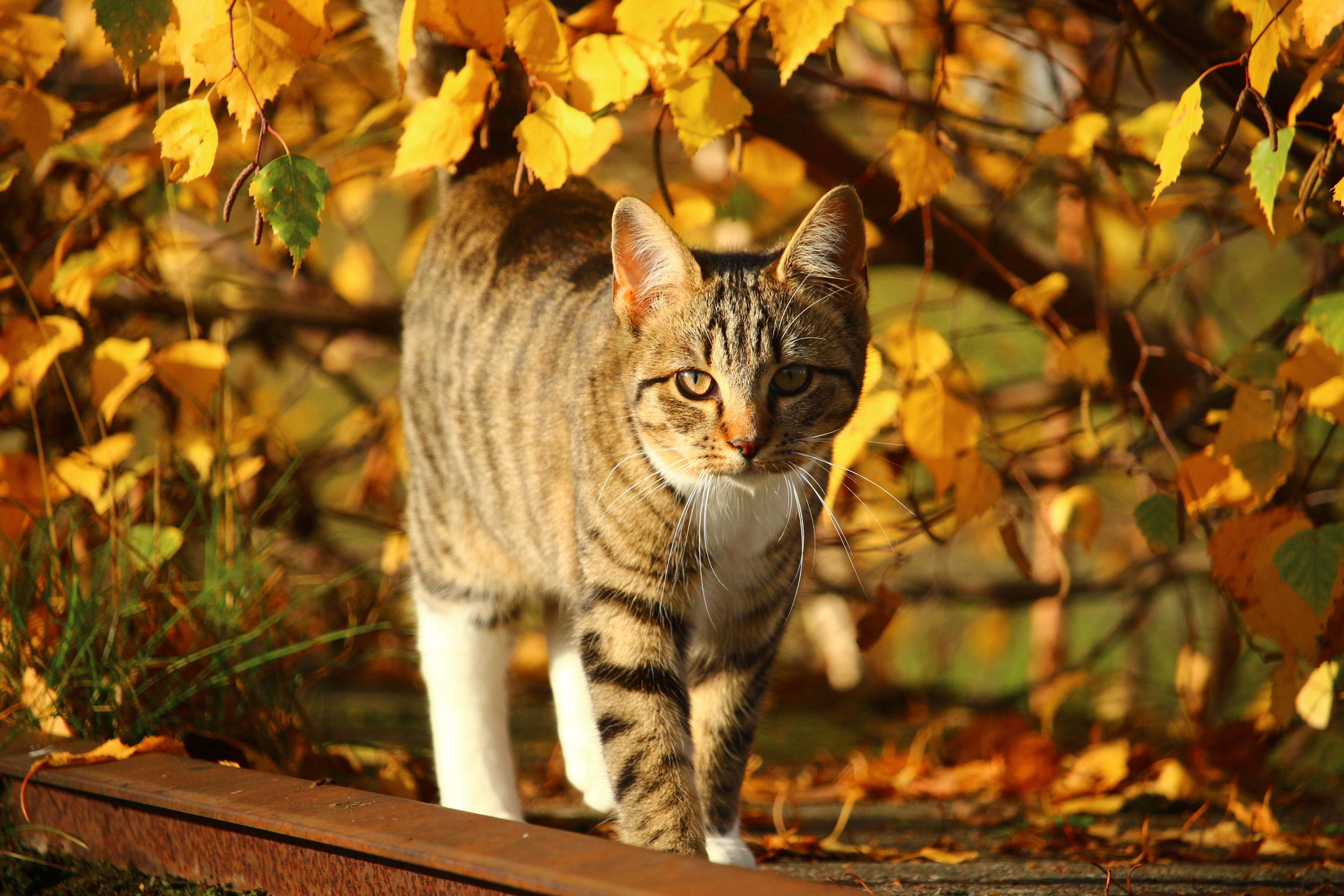 кошка осень листва  № 3898511 без смс