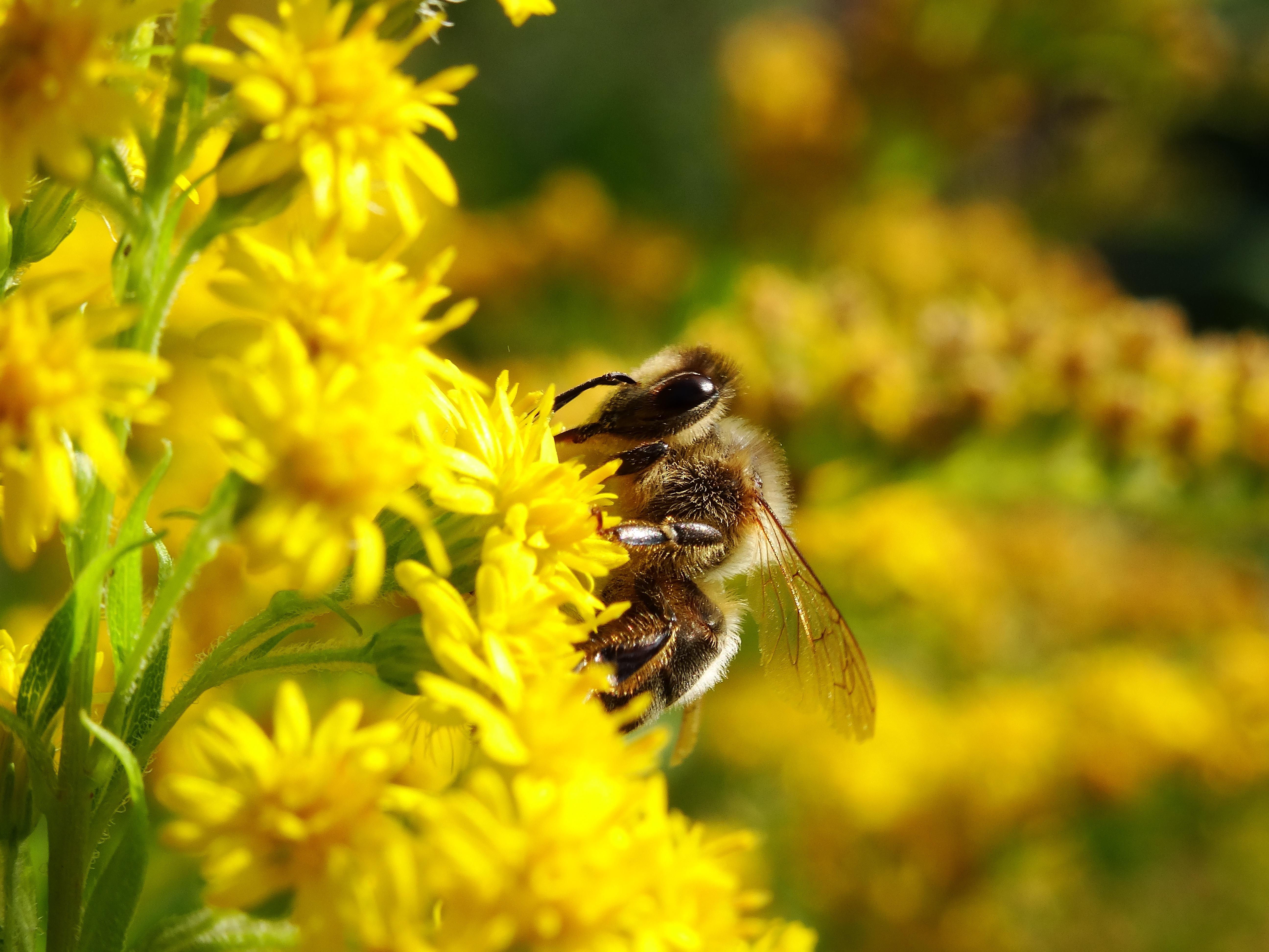 Fotos gratis naturaleza prado miel fauna silvestre for Ahuyentar abejas jardin