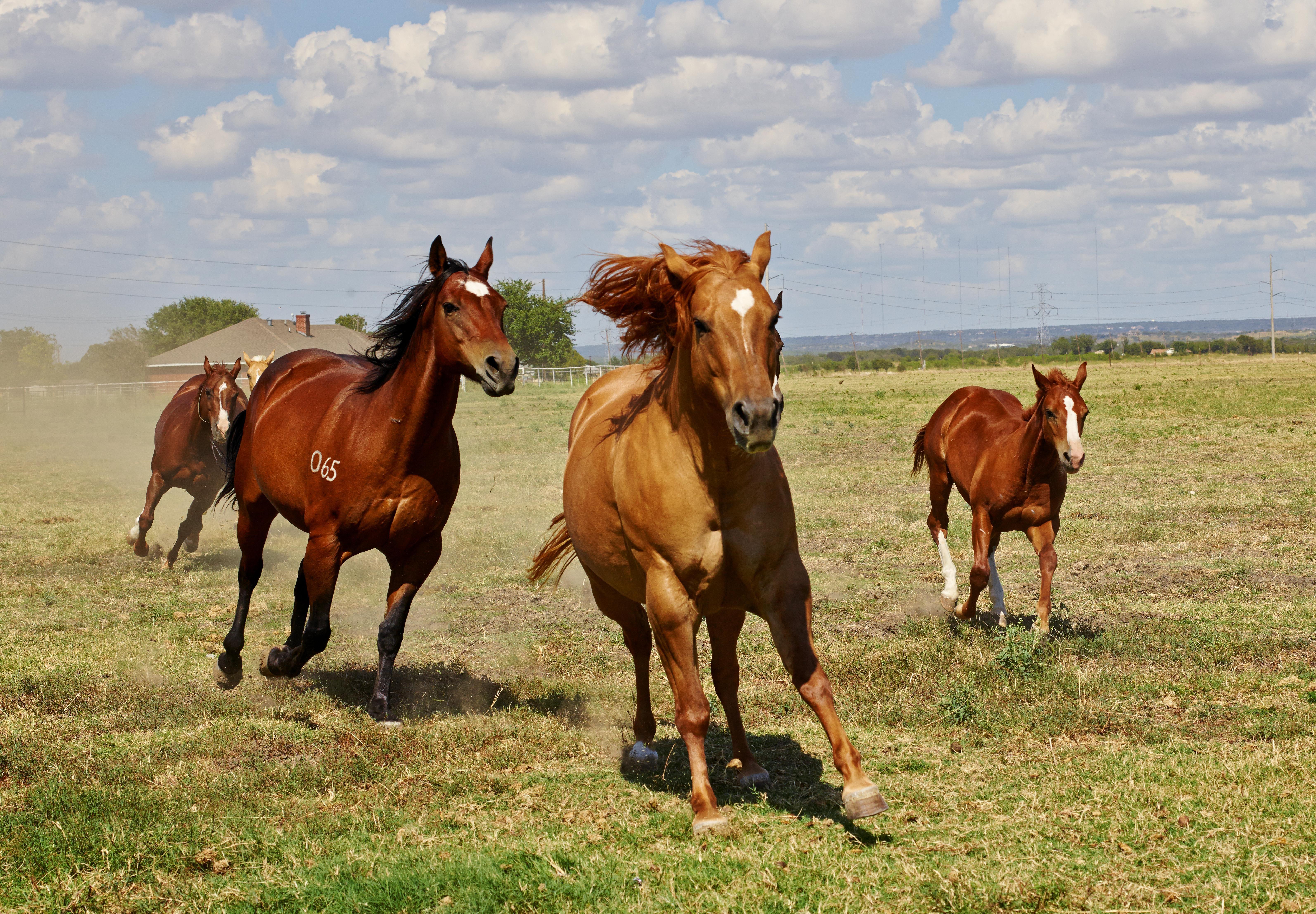 Free Images Meadow Prairie Herd Pasture Grazing