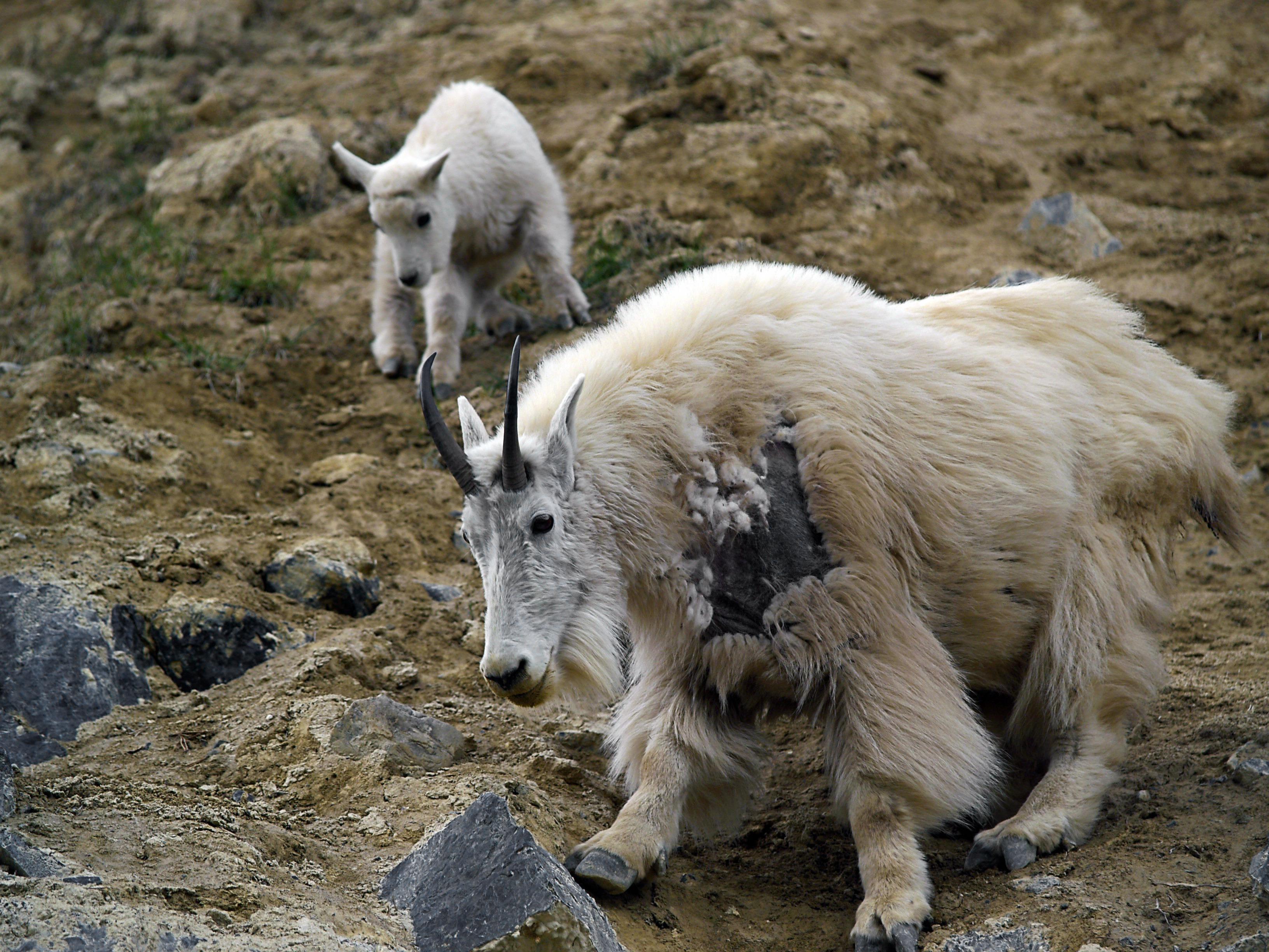 Images gratuites la nature montagne animal faune zoo - Photos de moutons gratuites ...