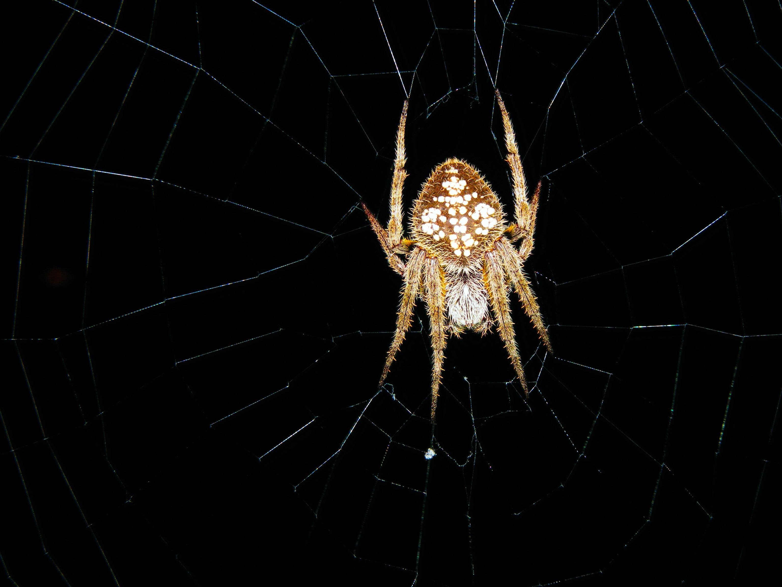 spooky dark insect halloween brown black material invertebrate spider web scary fear symmetry arachnid florida phobia macro photography - Phobia Halloween