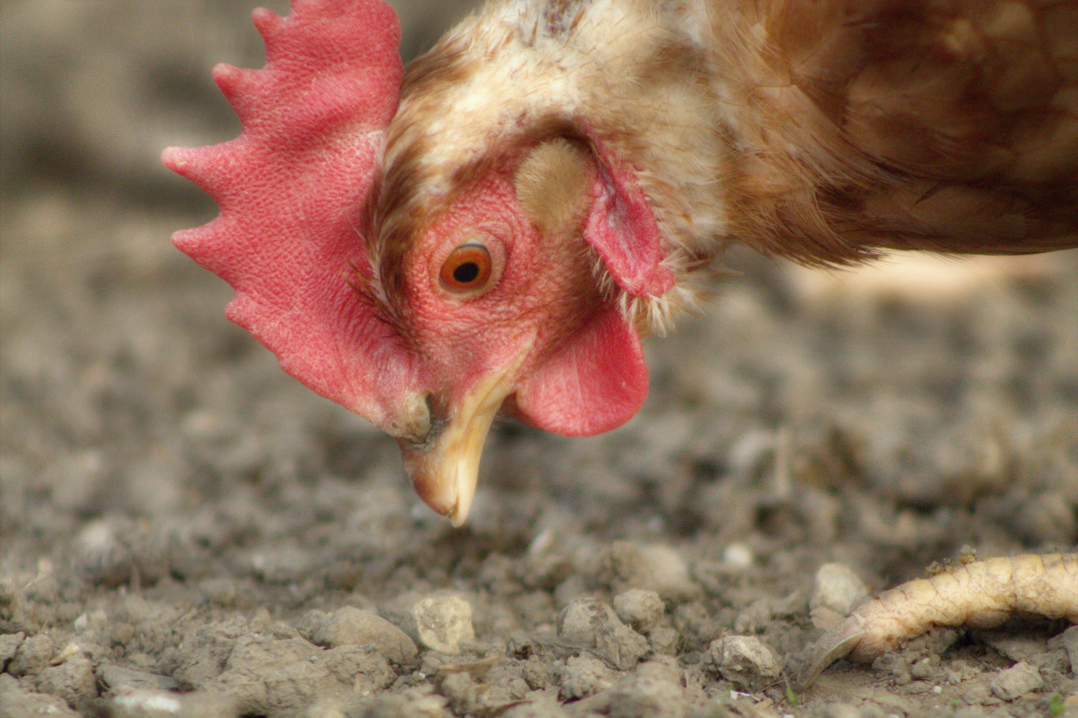 Клюв курицы: как подрезать клюв курице? 23