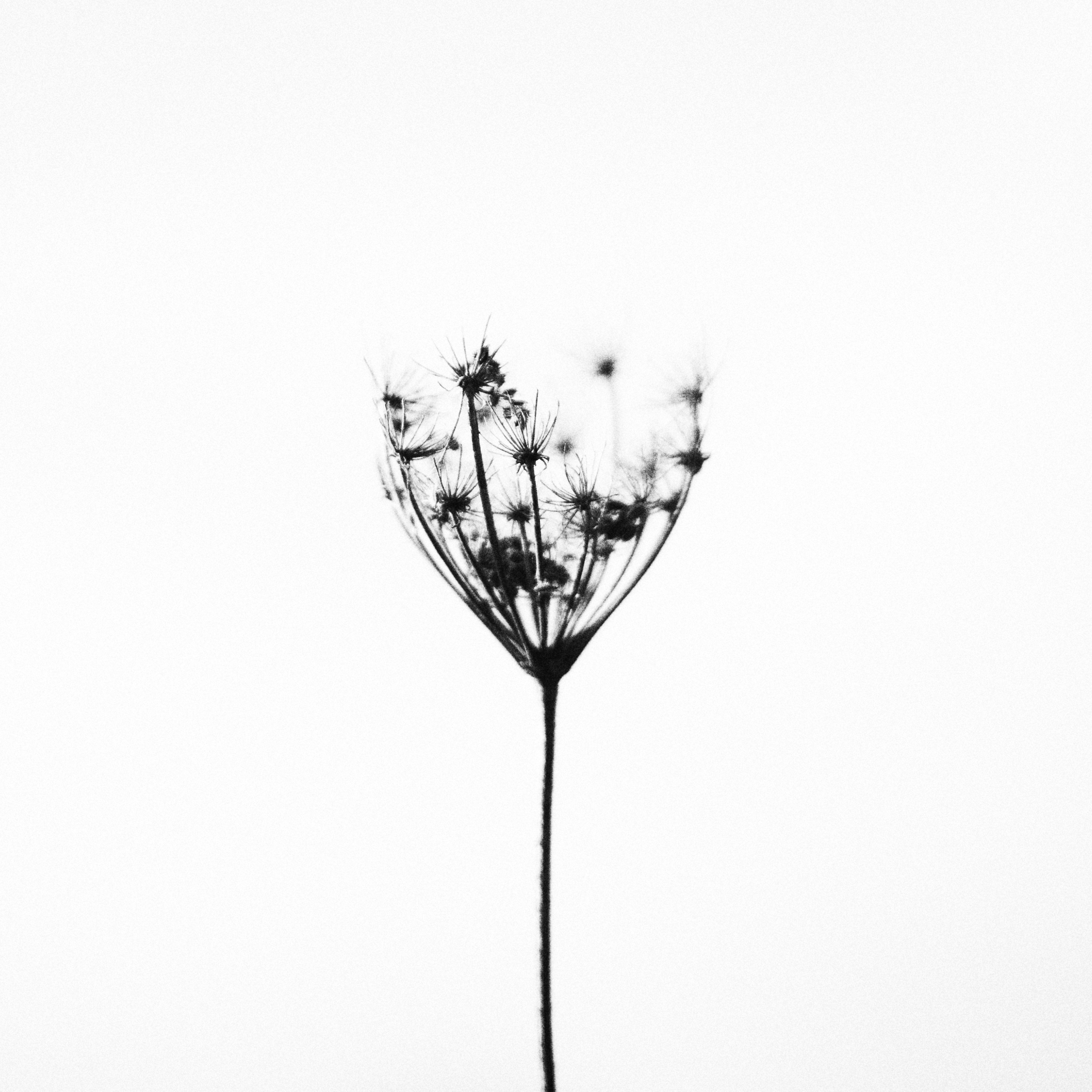 kostenlose foto natur draussen schwarz und wei pflanze blume kraut kontrast schwarz. Black Bedroom Furniture Sets. Home Design Ideas