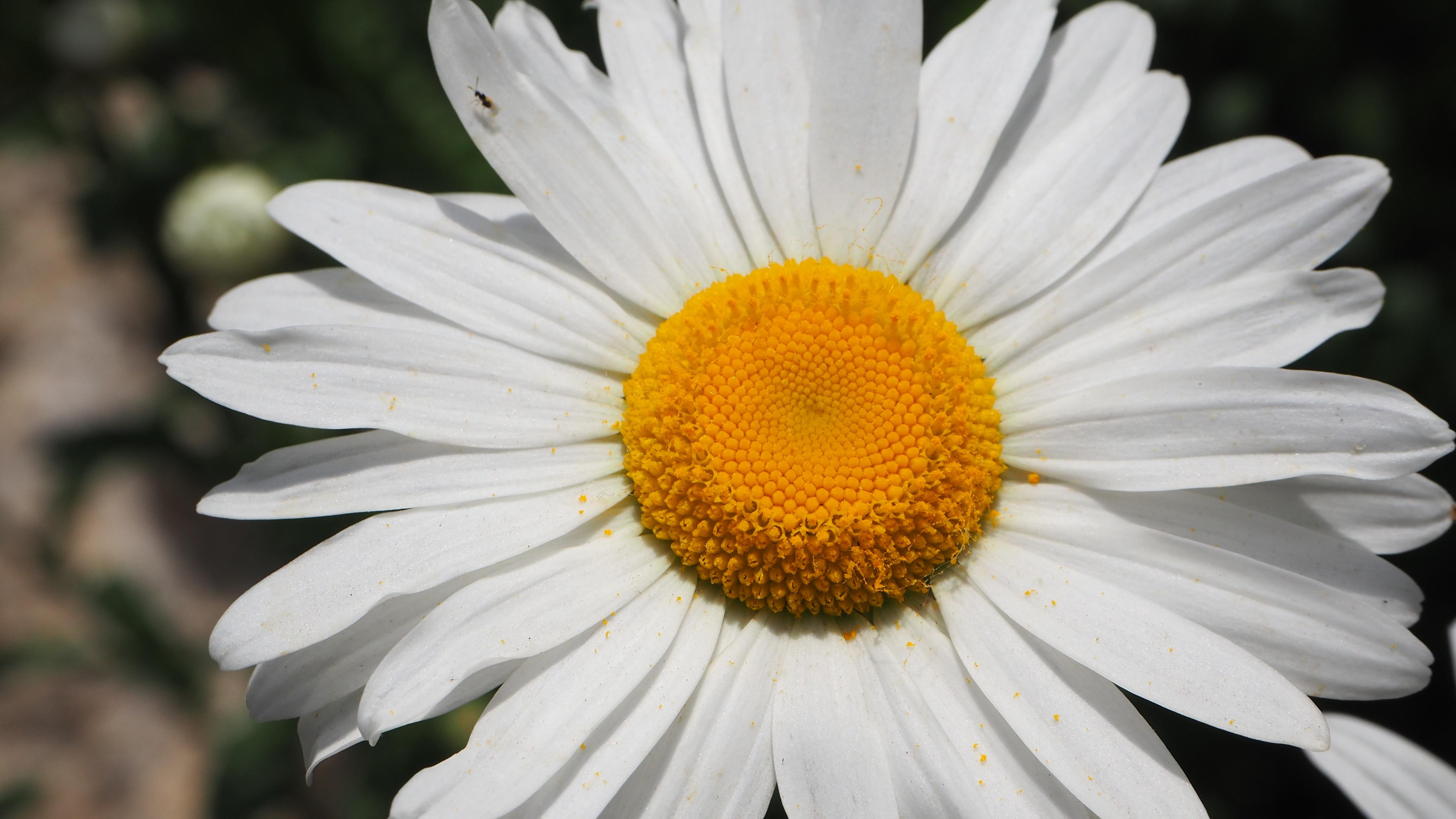 Фотографии цветов крупные ромашки был только
