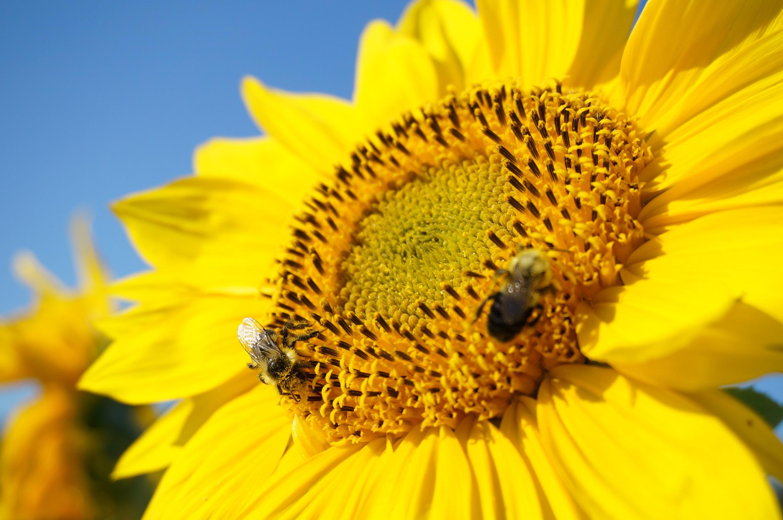Картинка подсолнух с пчелами