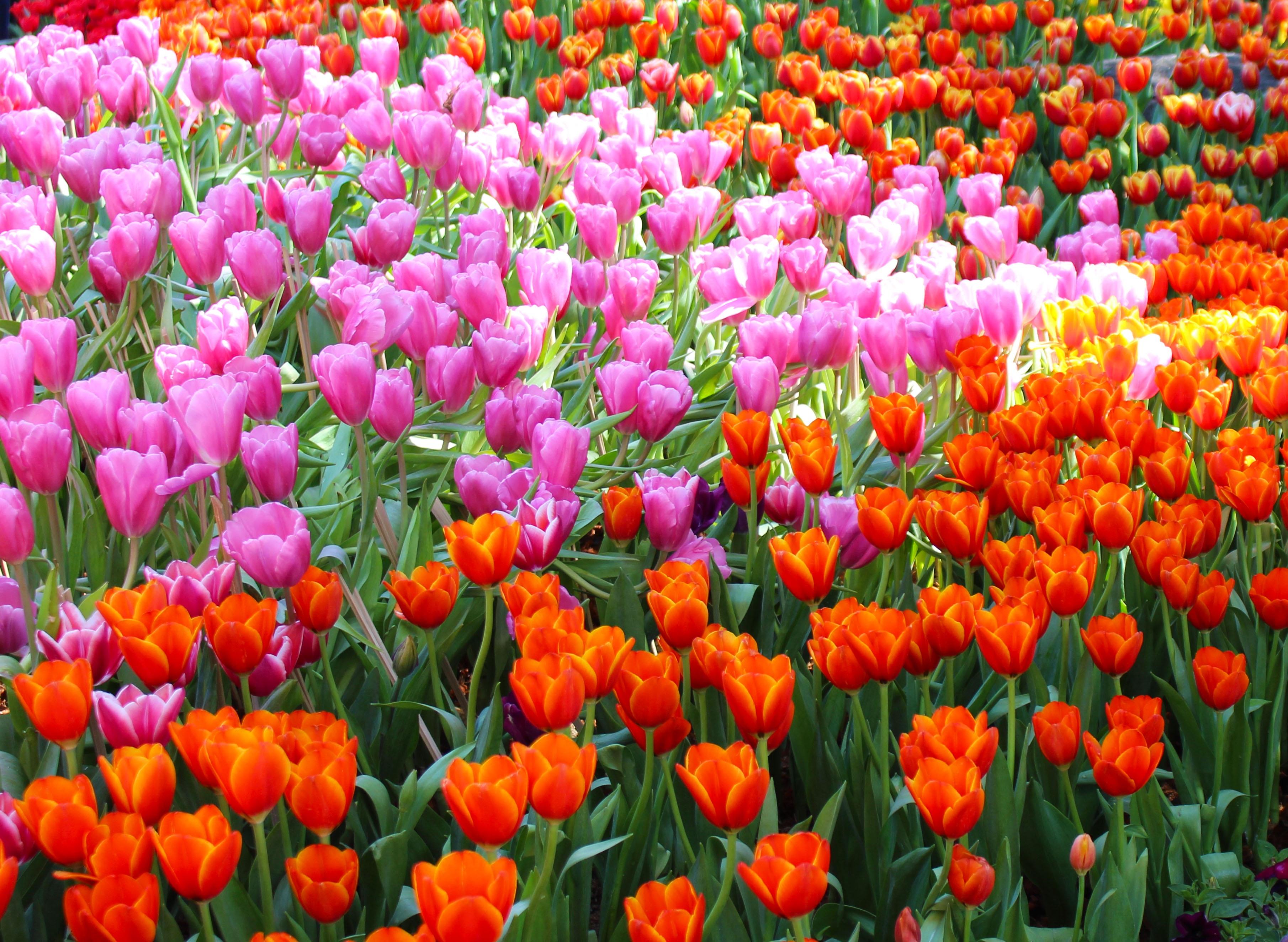 фото с тюльпанами назвать этого необходимо его