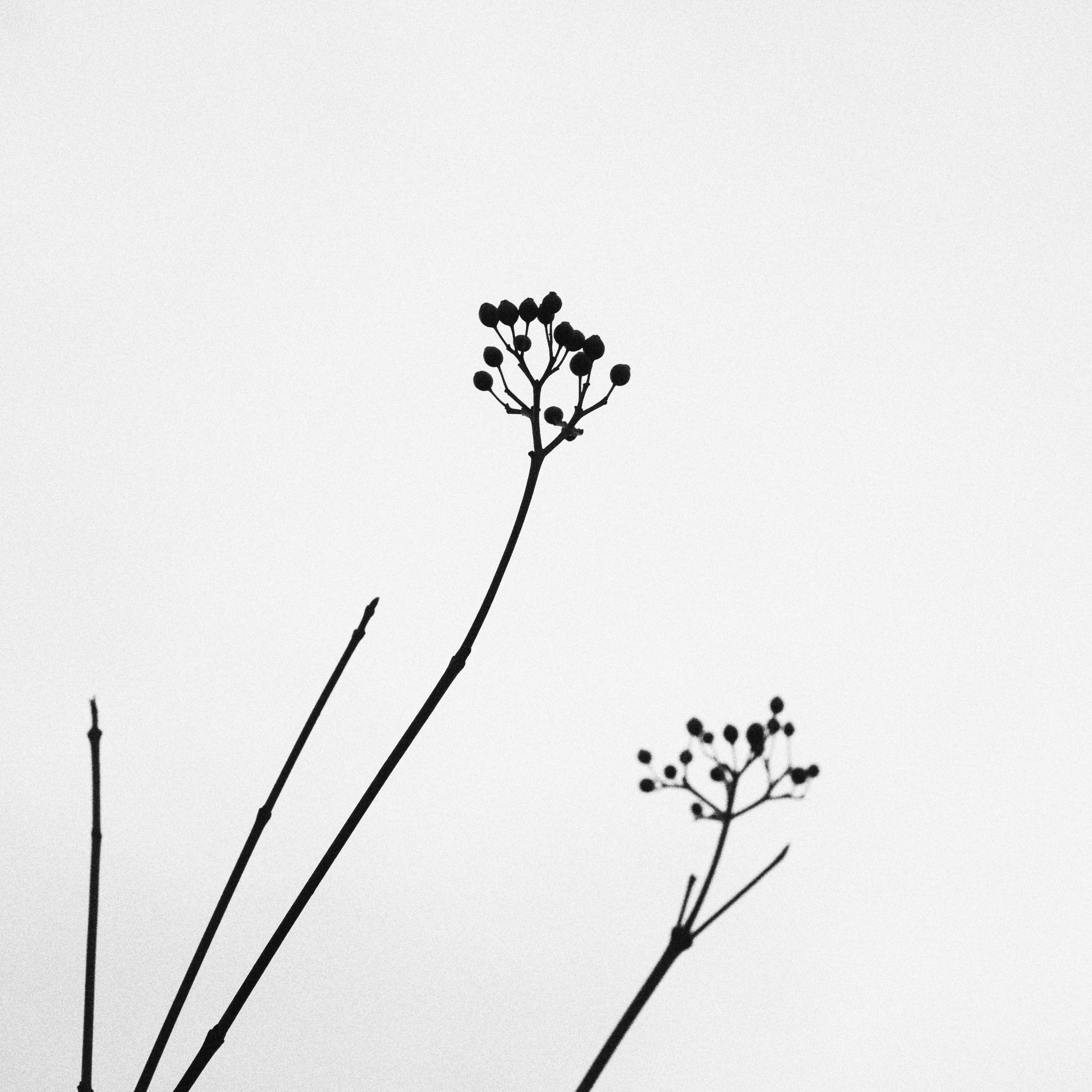 Images gratuites la nature de plein air branche noir - Dessin de fleur en noir et blanc ...