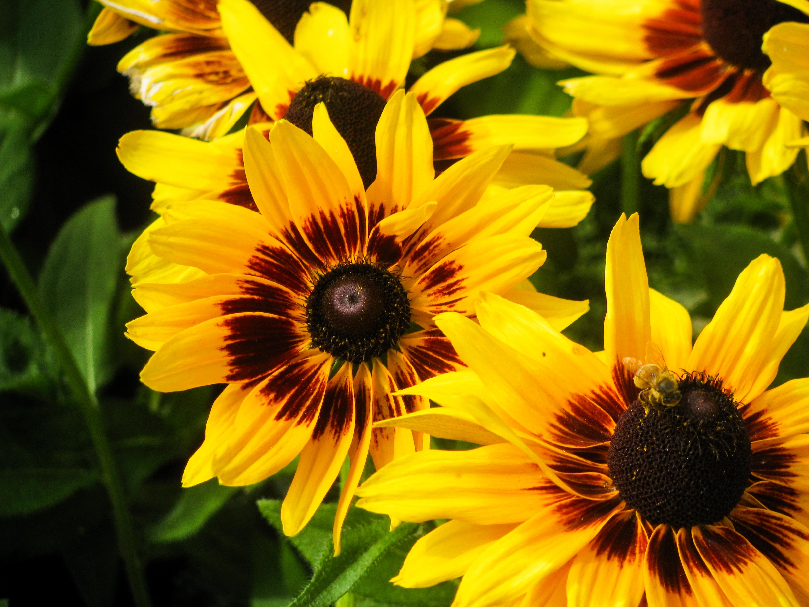 Цветы похожие на подсолнухи фото
