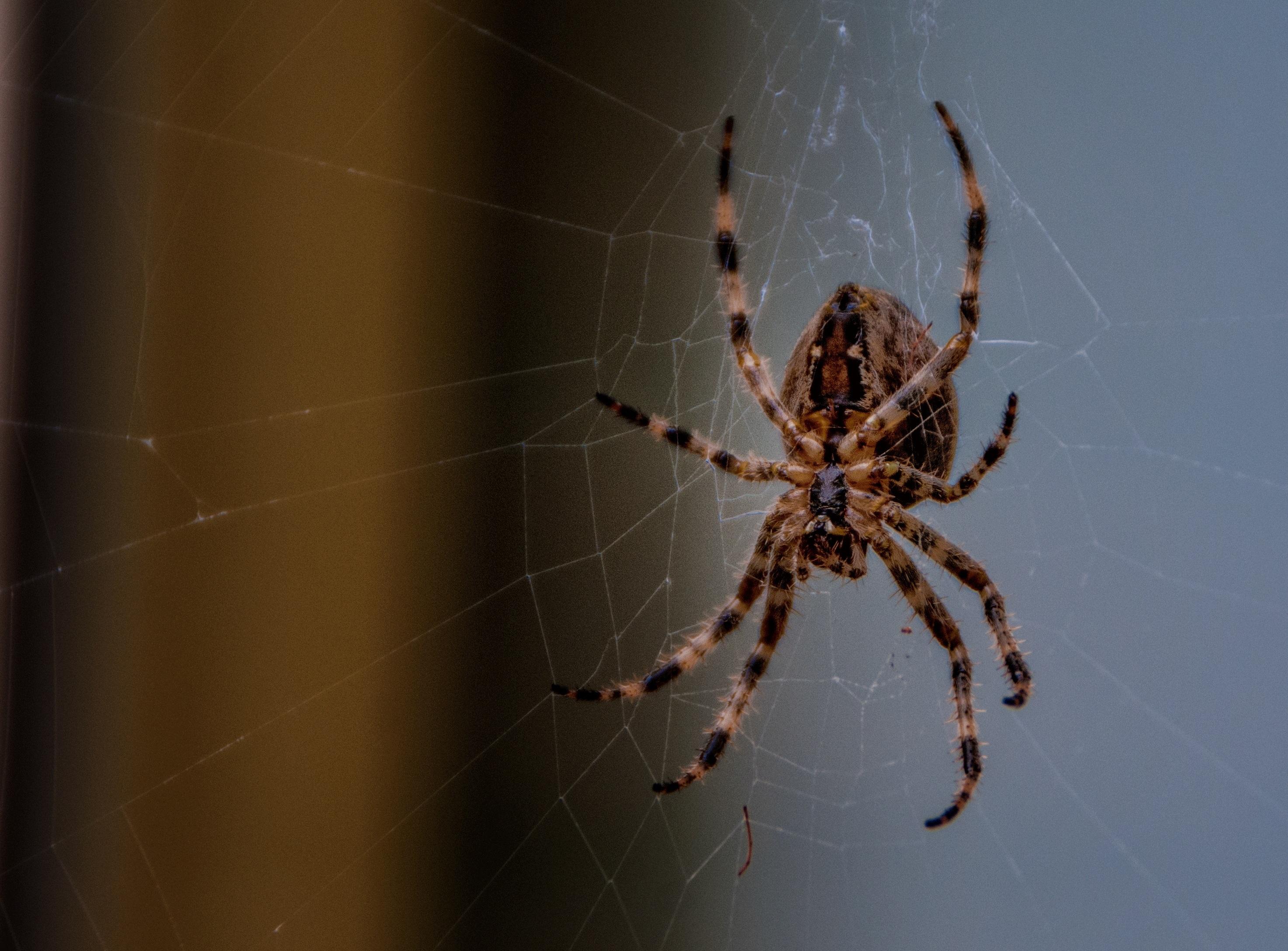 Free Images : nature, outdoor, bug, fauna, invertebrate, spider web ...