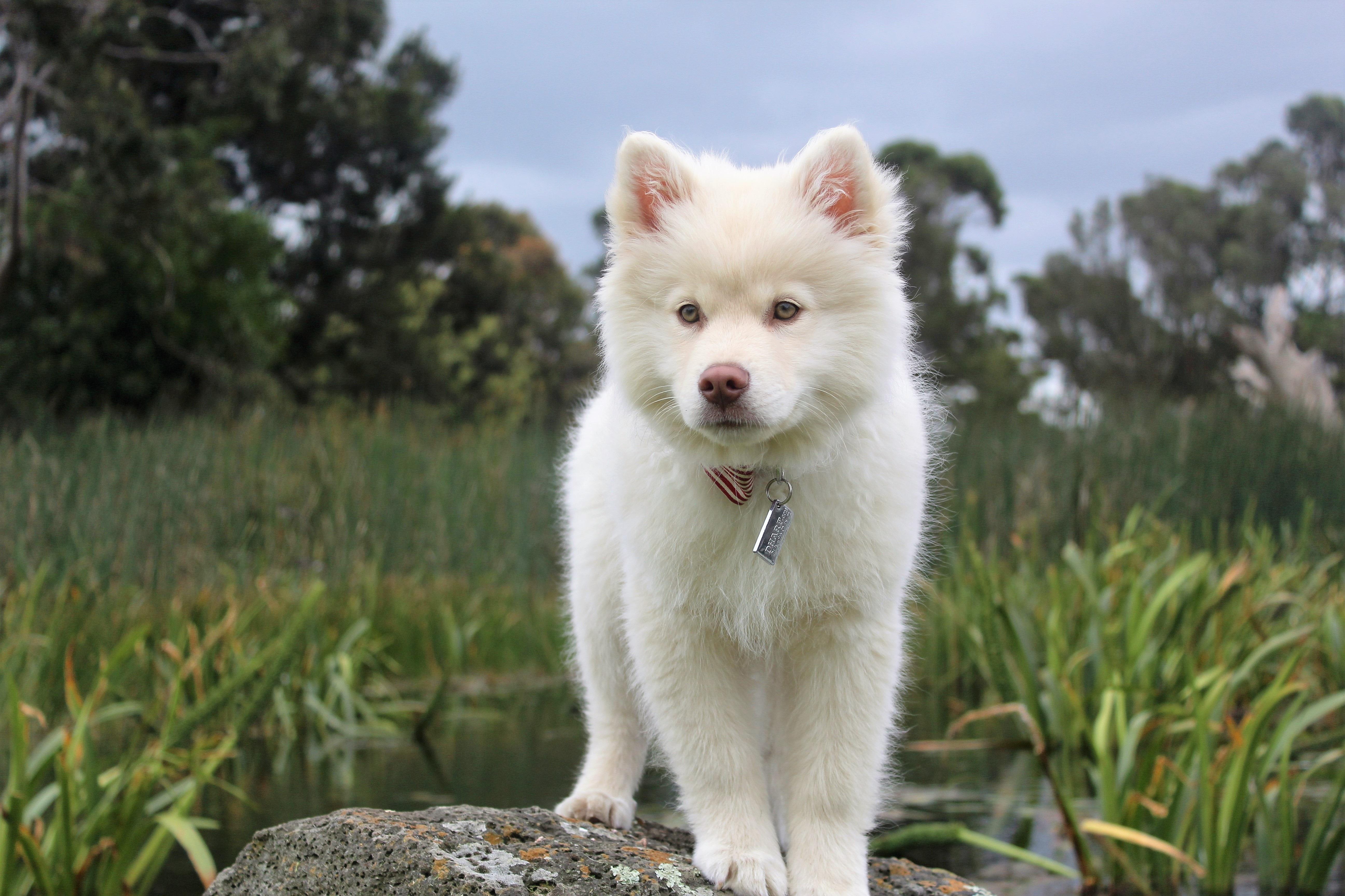 Simple Icelandic Sheepdog Canine Adorable Dog - nature-outdoor-white-meadow-play-sweet-puppy-dog-animal-cute-canine-looking-love-pet-portrait-young-small-mammal-baby-friend-playful-lovely-little-vertebrate-domestic-dog-breed-pomeranian-doggy-purebred-pedigree-siberian-husky-dog-like-mammal-carnivoran-dog-breed-group-greenland-dog-east-siberian-laika-west-siberian-laika-alaskan-klee-kai-icelandic-sheepdog-german-spitz-mittel-japanese-spitz-american-eskimo-dog-german-spitz-german-spitz-klein-volpino-italiano-kishu-norwegian-buhund-1173217  Trends_167114  .jpg