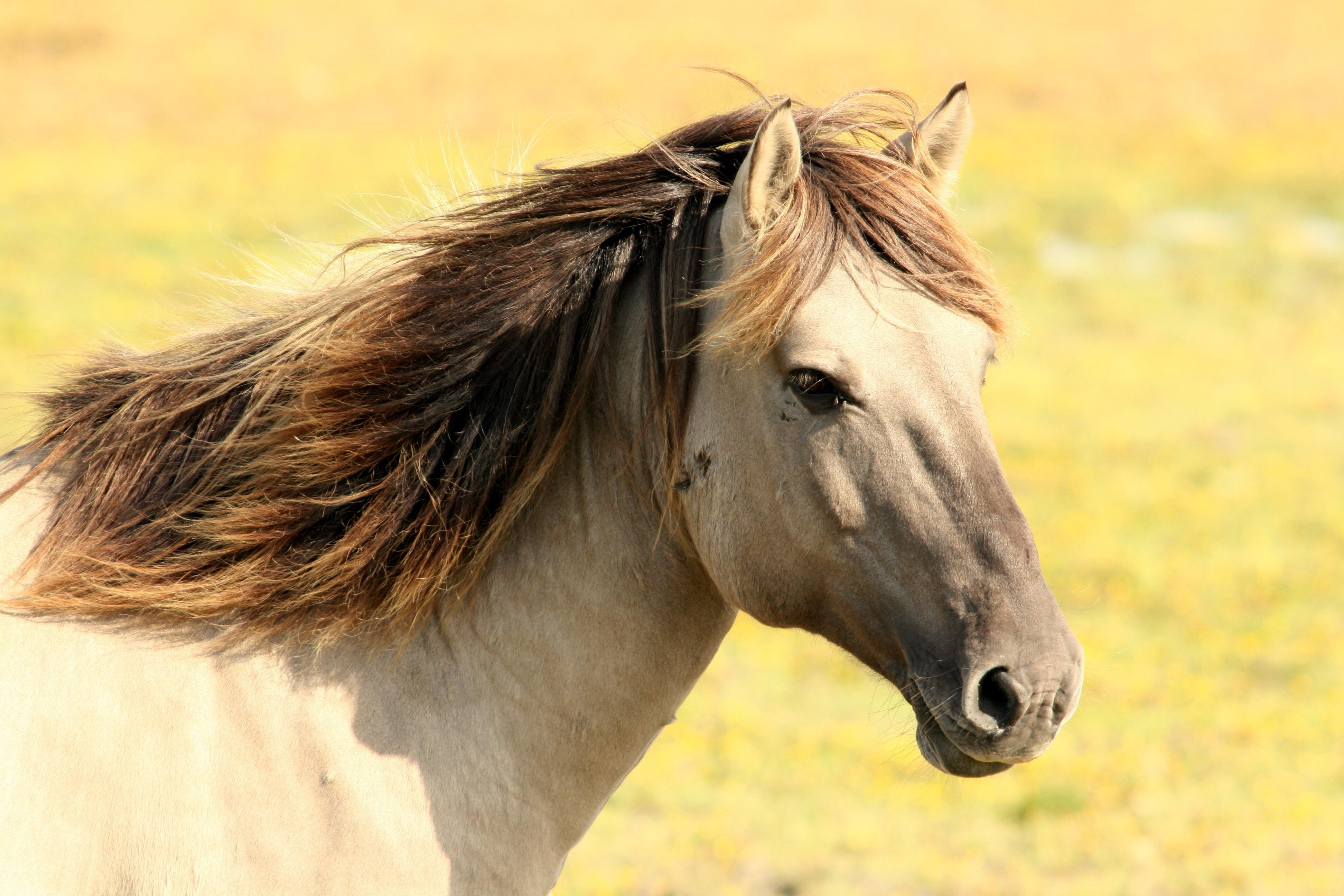 free images : nature, pasture, stallion, mane, fauna, close up