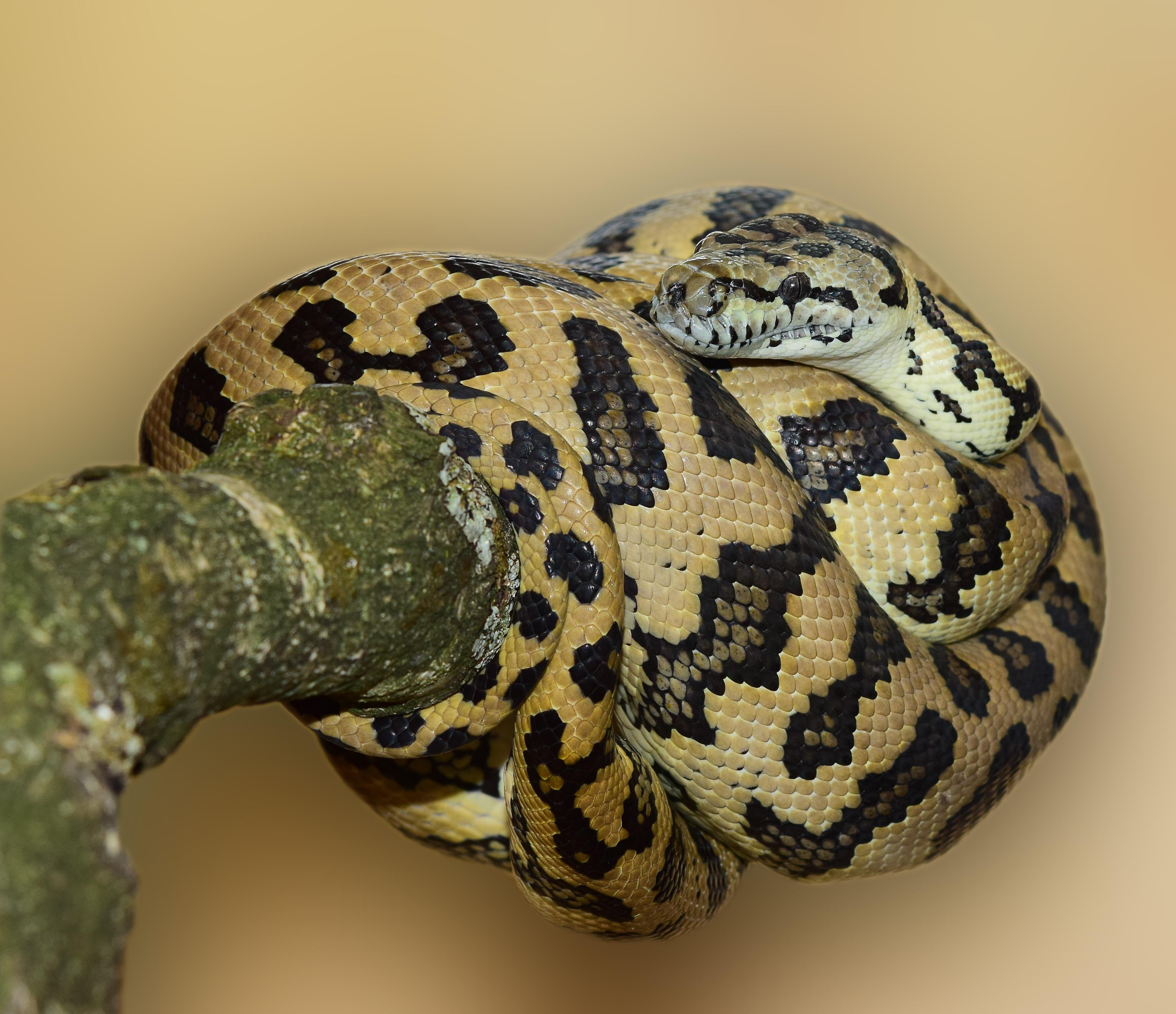nature pattern reptile scale close australia eye snake vertebrate beautiful animal world serpent constrictor carpet python