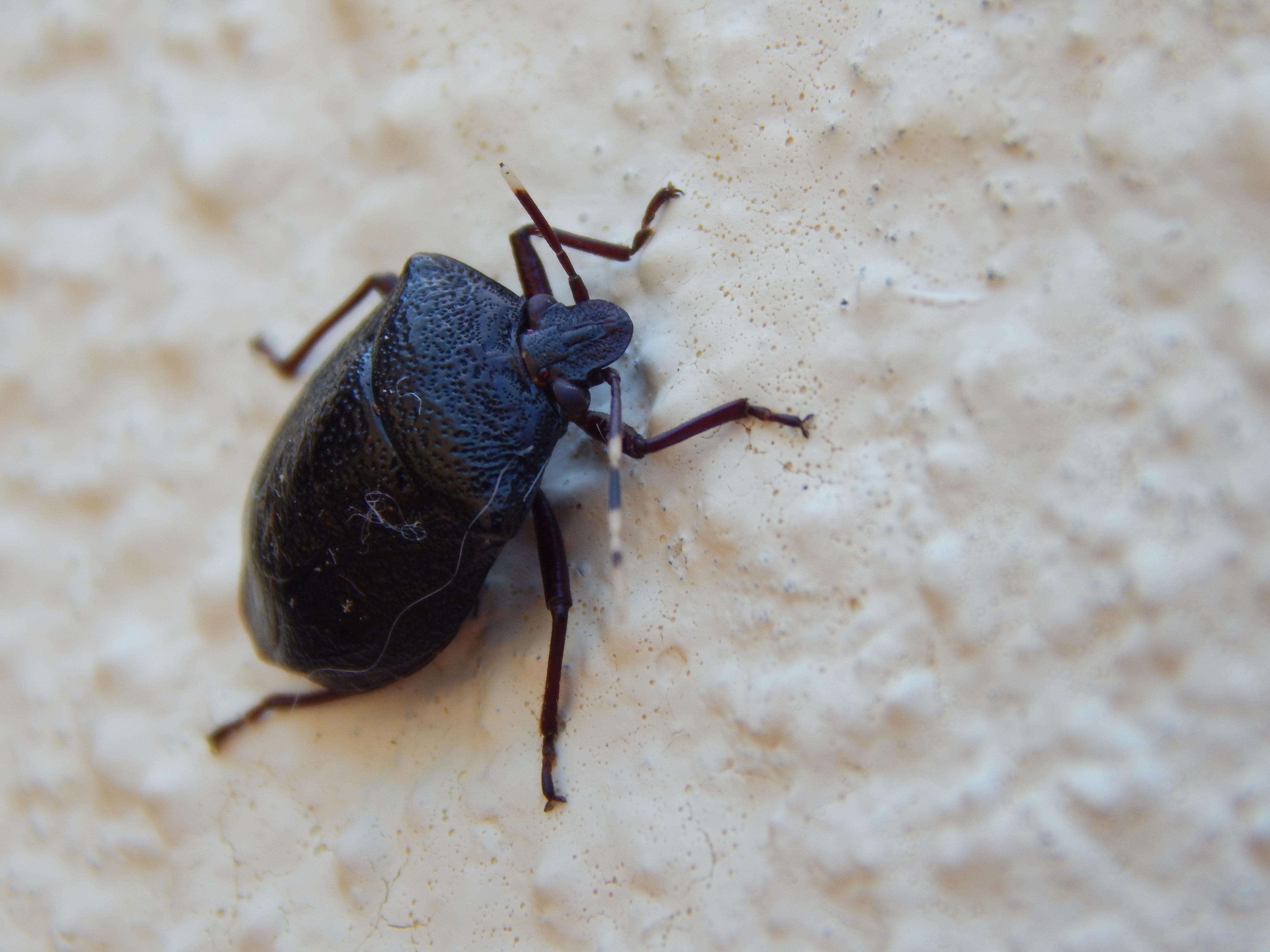 images gratuites la nature la photographie animal insecte punaise jardin faune. Black Bedroom Furniture Sets. Home Design Ideas