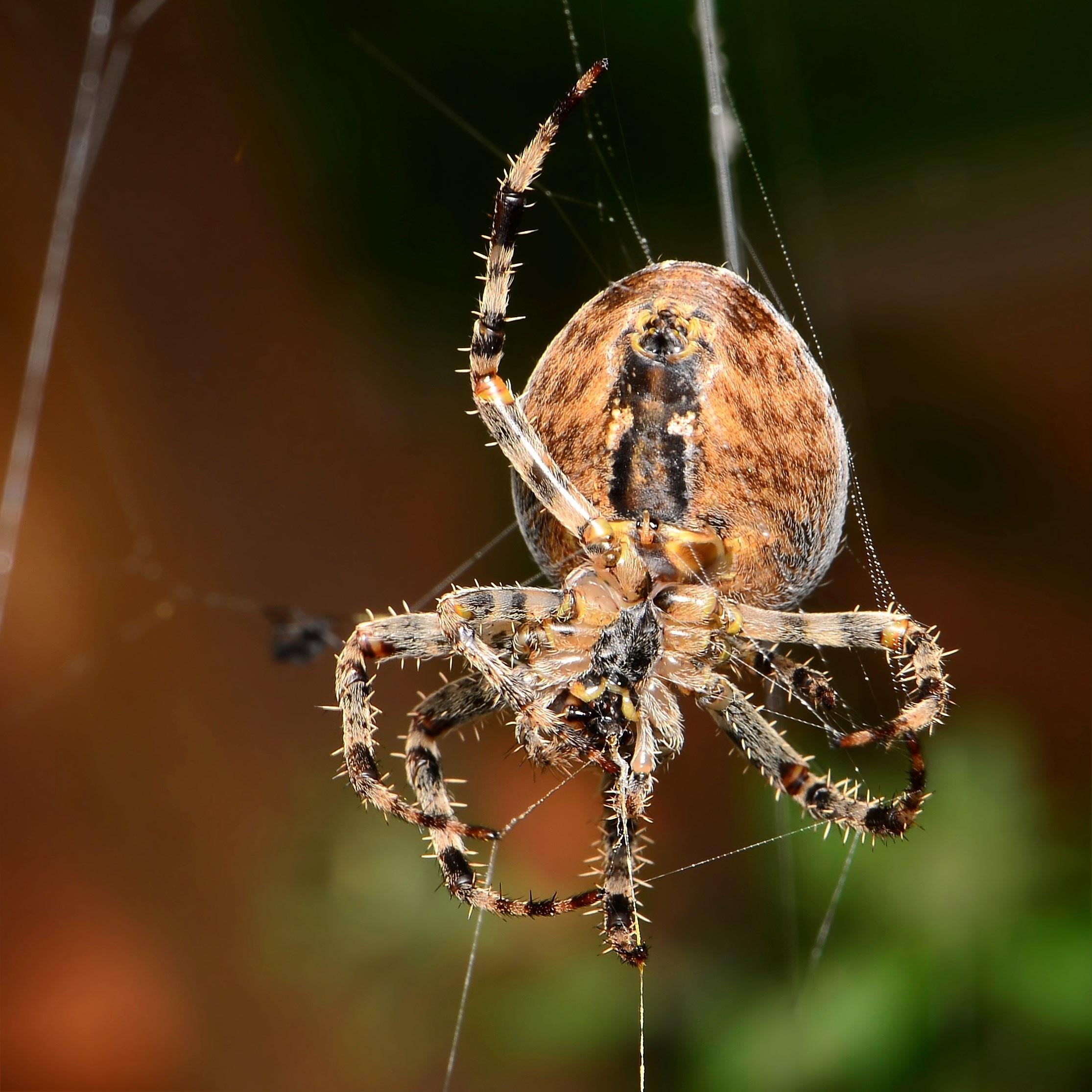 Free Images : nature, fauna, invertebrate, spider web, close up ...