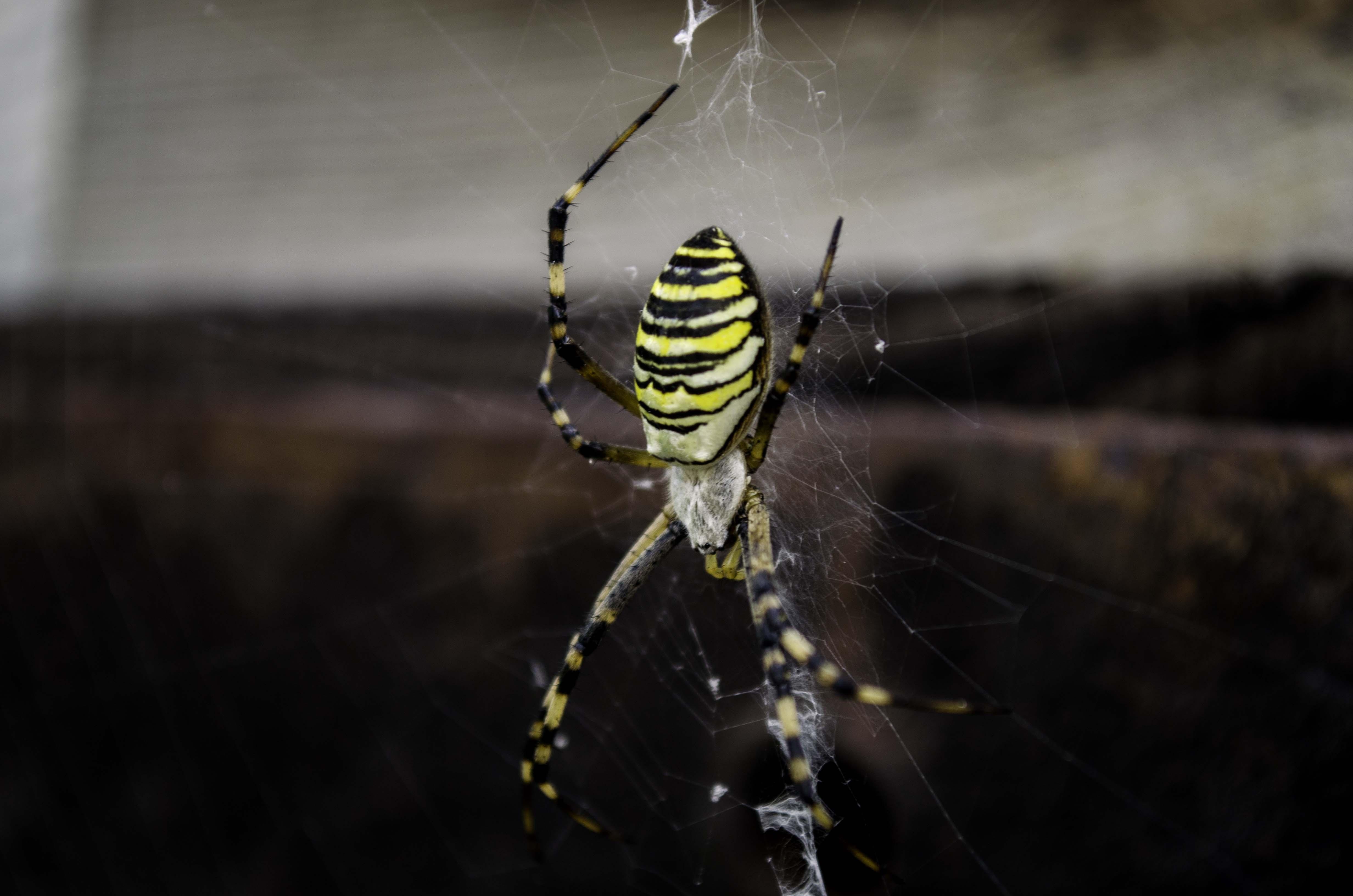 себя полосатый паук черно желтый фото и описание объемные
