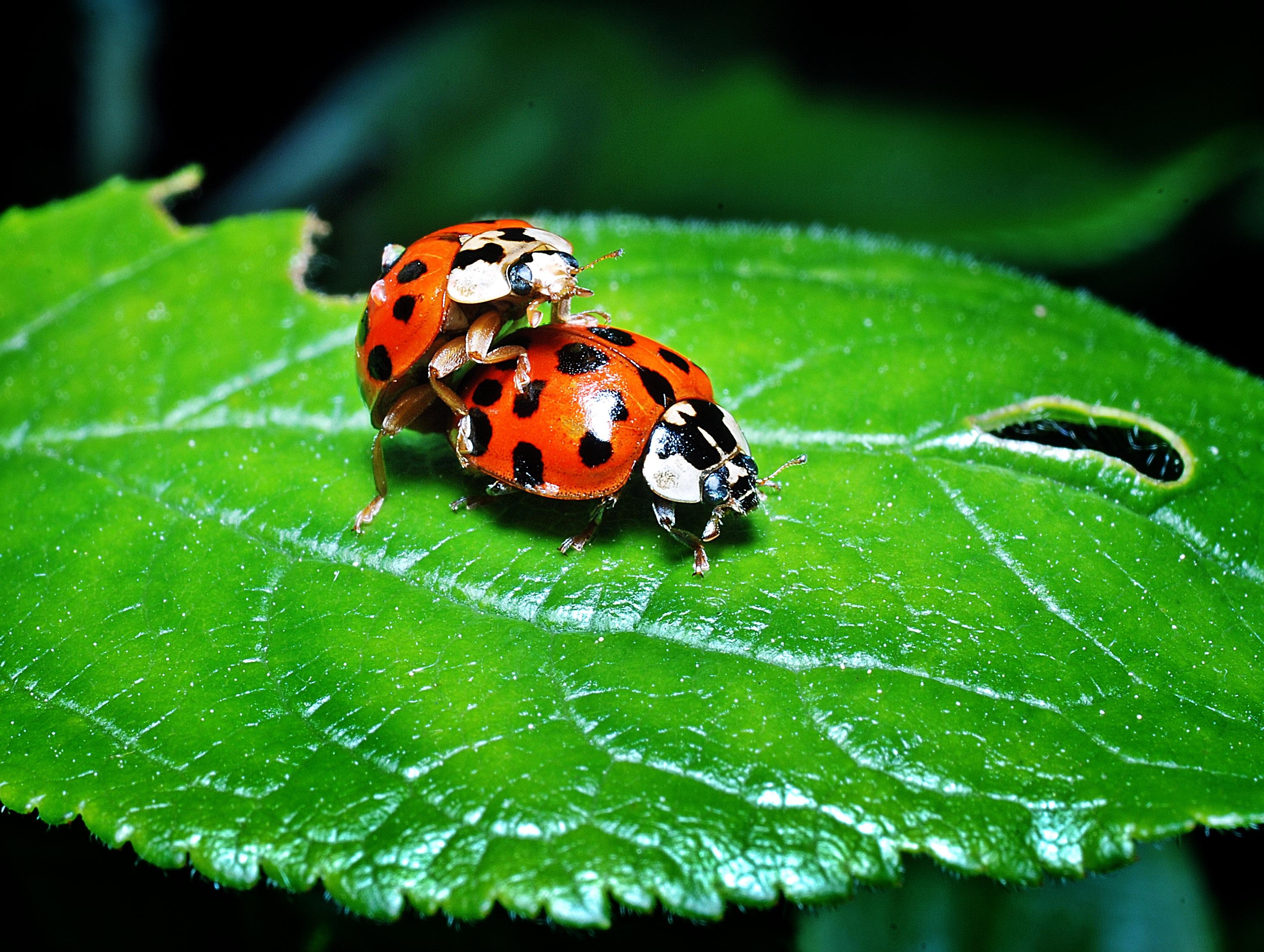 Free Images  Nature, Flower, Green, Insect, Botany, Garden, Closeup, Fauna, Ladybird -9401