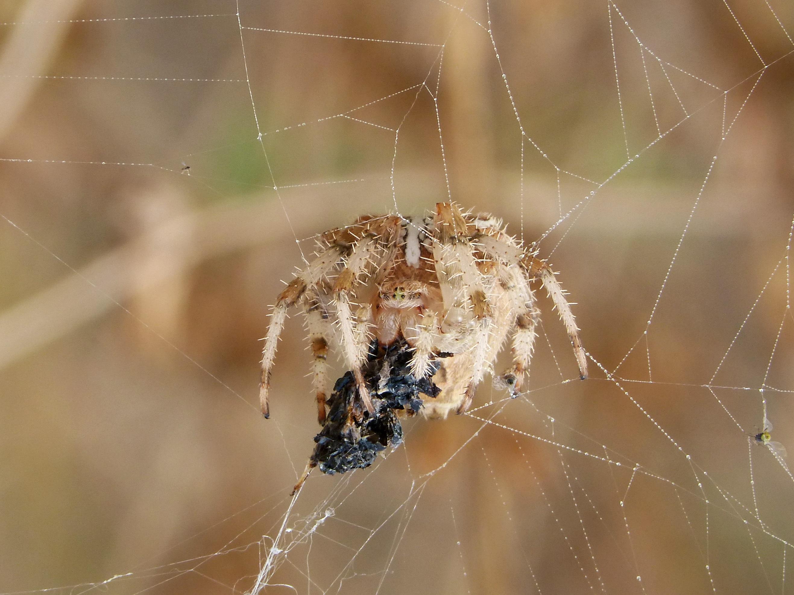 Free Images : nature, fauna, material, invertebrate, spider web ...