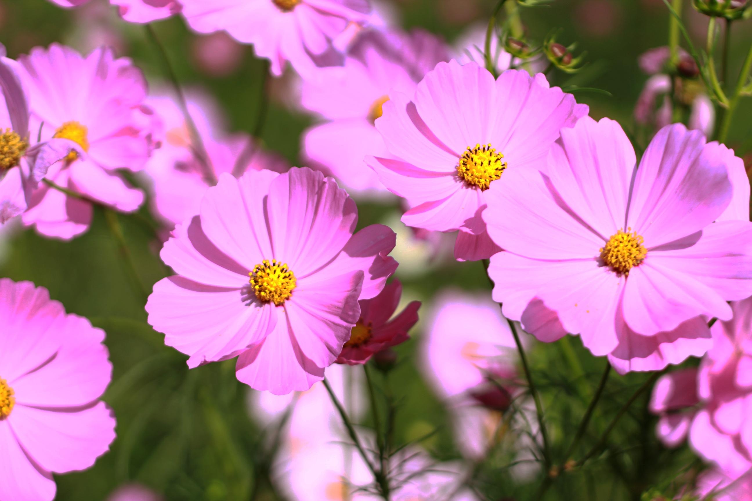 Fiori Tipo Margherite.Immagini Belle Natura Fiore Petalo Colorato Flora Giardino