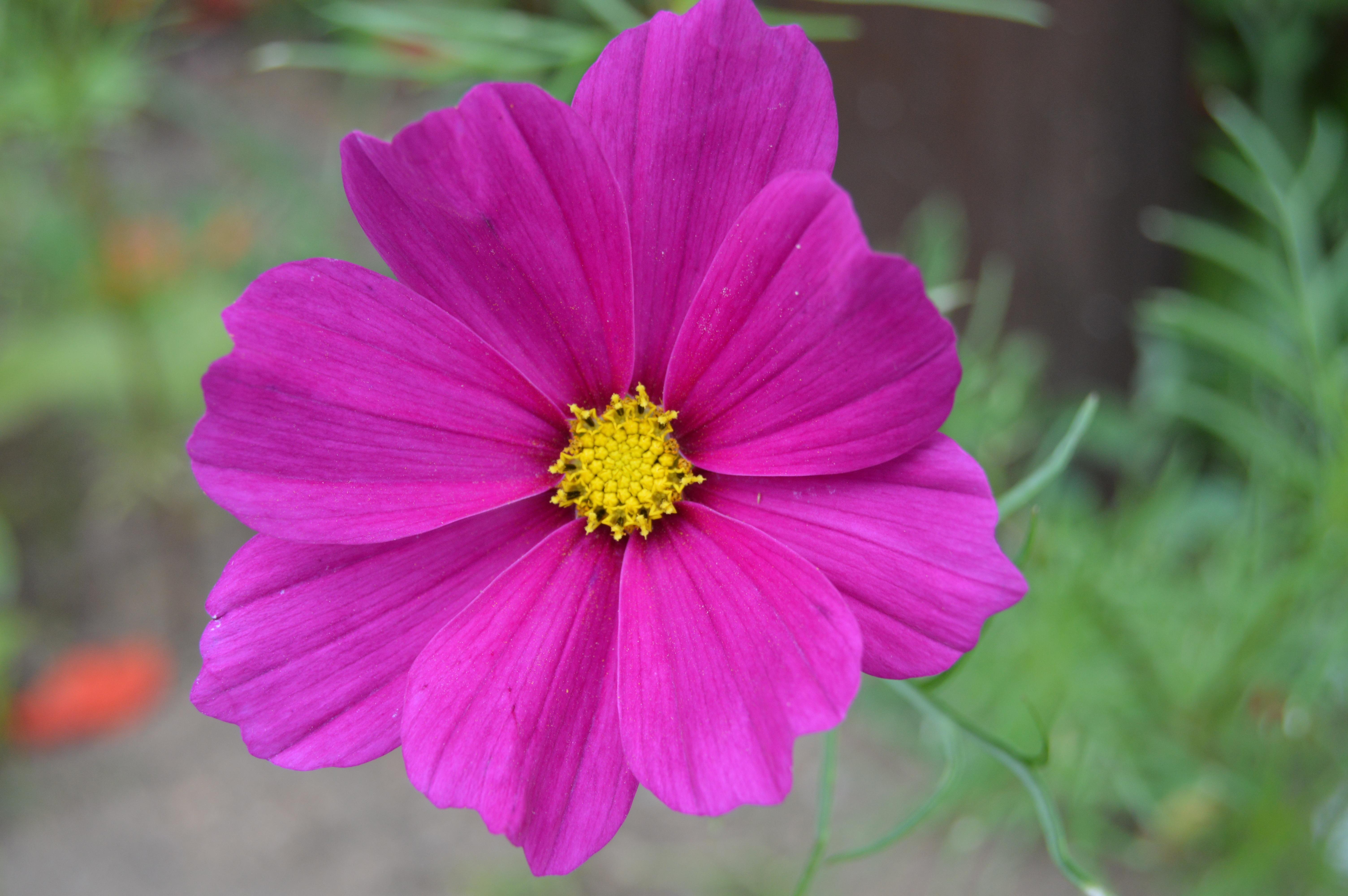 Fotoğraf Doğa Evren Taçyaprağı Bitki örtüsü Yabani çiçek