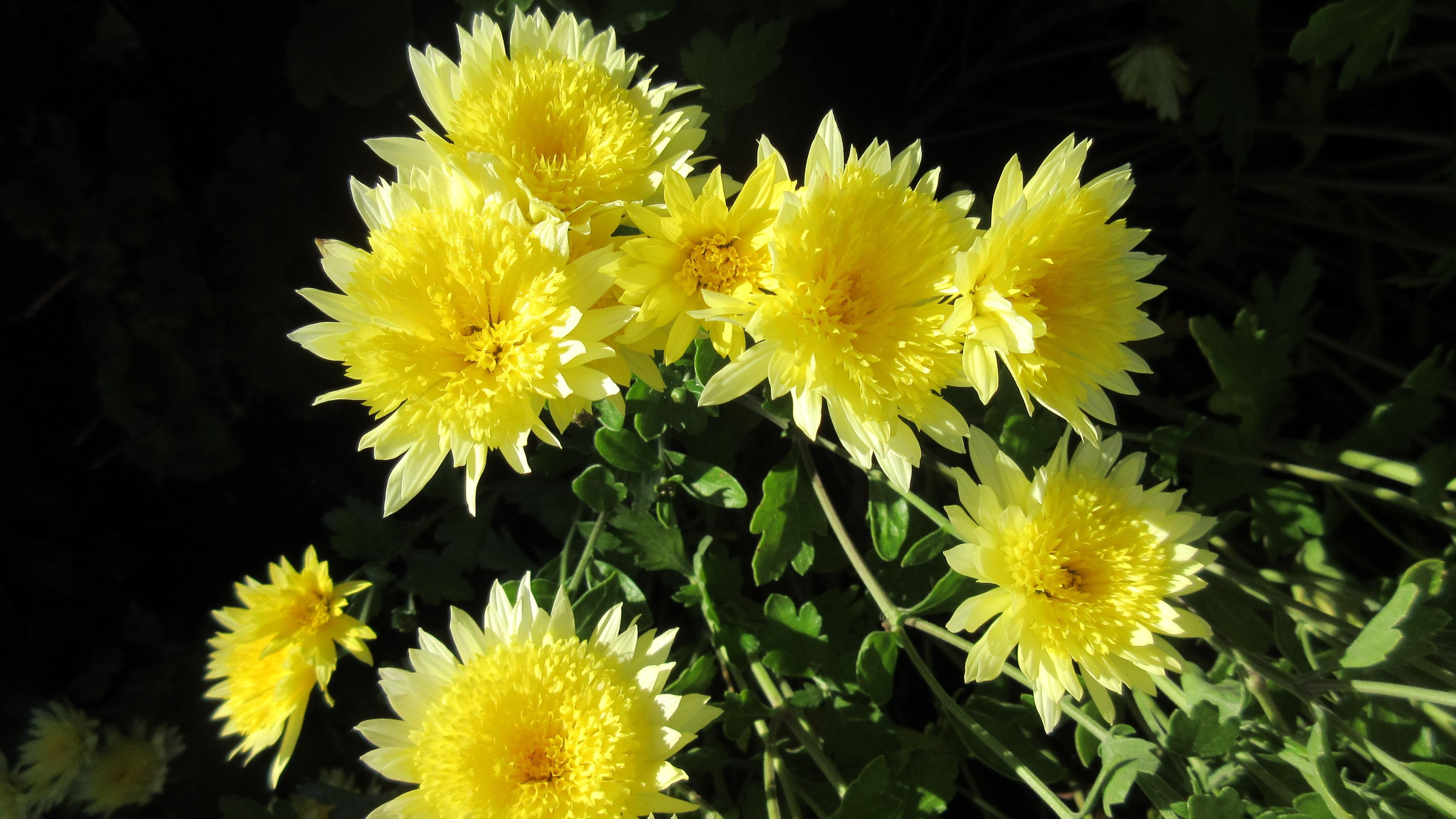 Free Images Nature Dandelion Flower Herb Autumn Botany