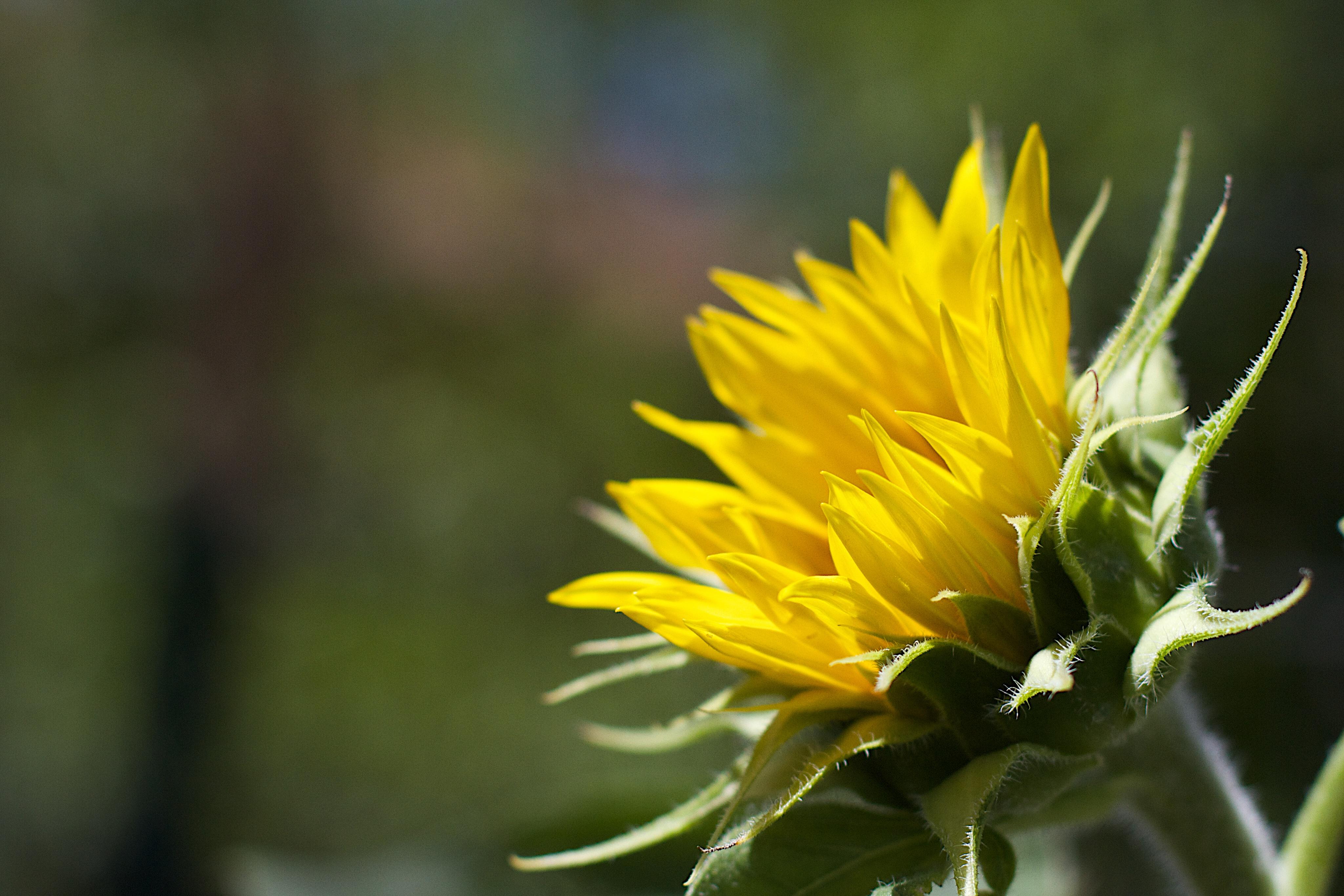 Hình ảnh Thiên Nhiên Thực Vật Bồ Công Anh Cánh Hoa Màu