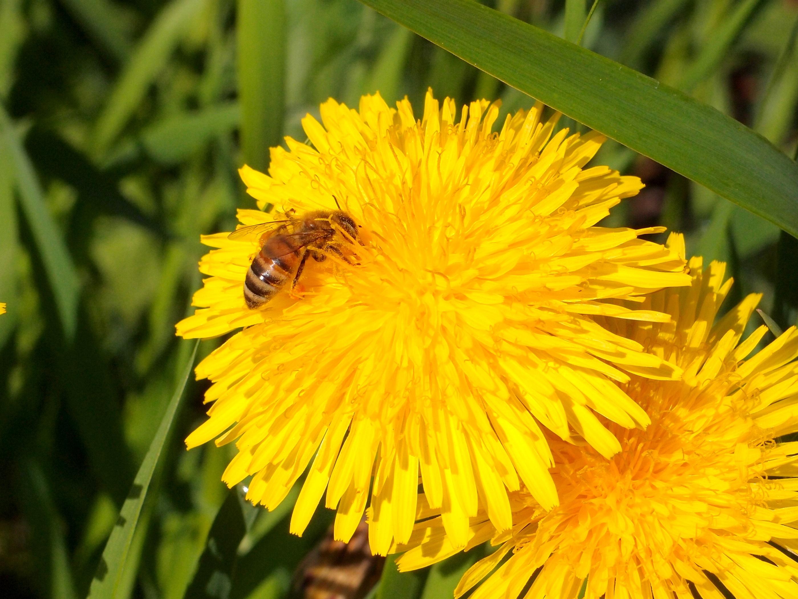 images gratuites la nature pissenlit p tale pollen macro botanique fermer flore faune. Black Bedroom Furniture Sets. Home Design Ideas