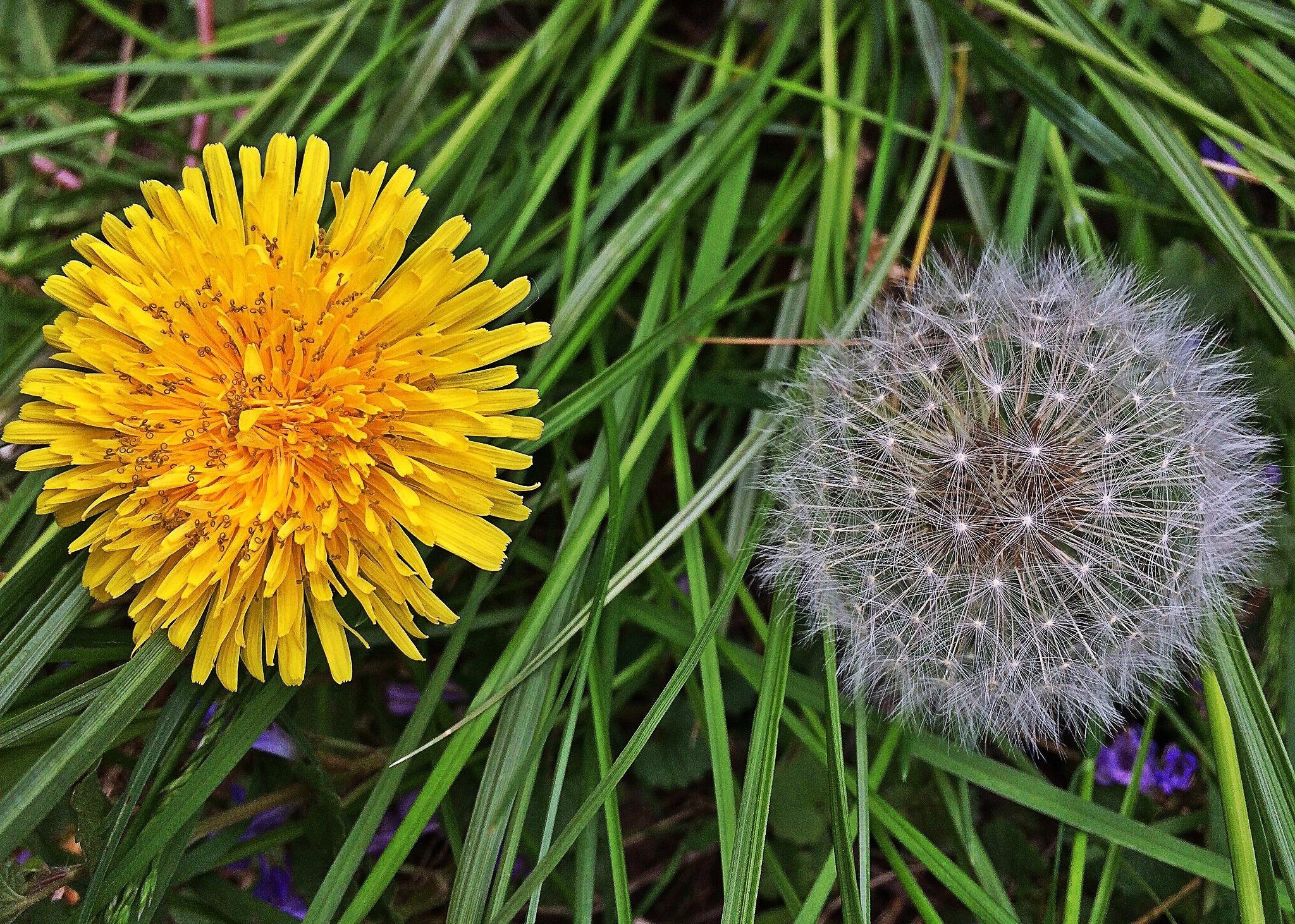 цветы одуванчик картинка