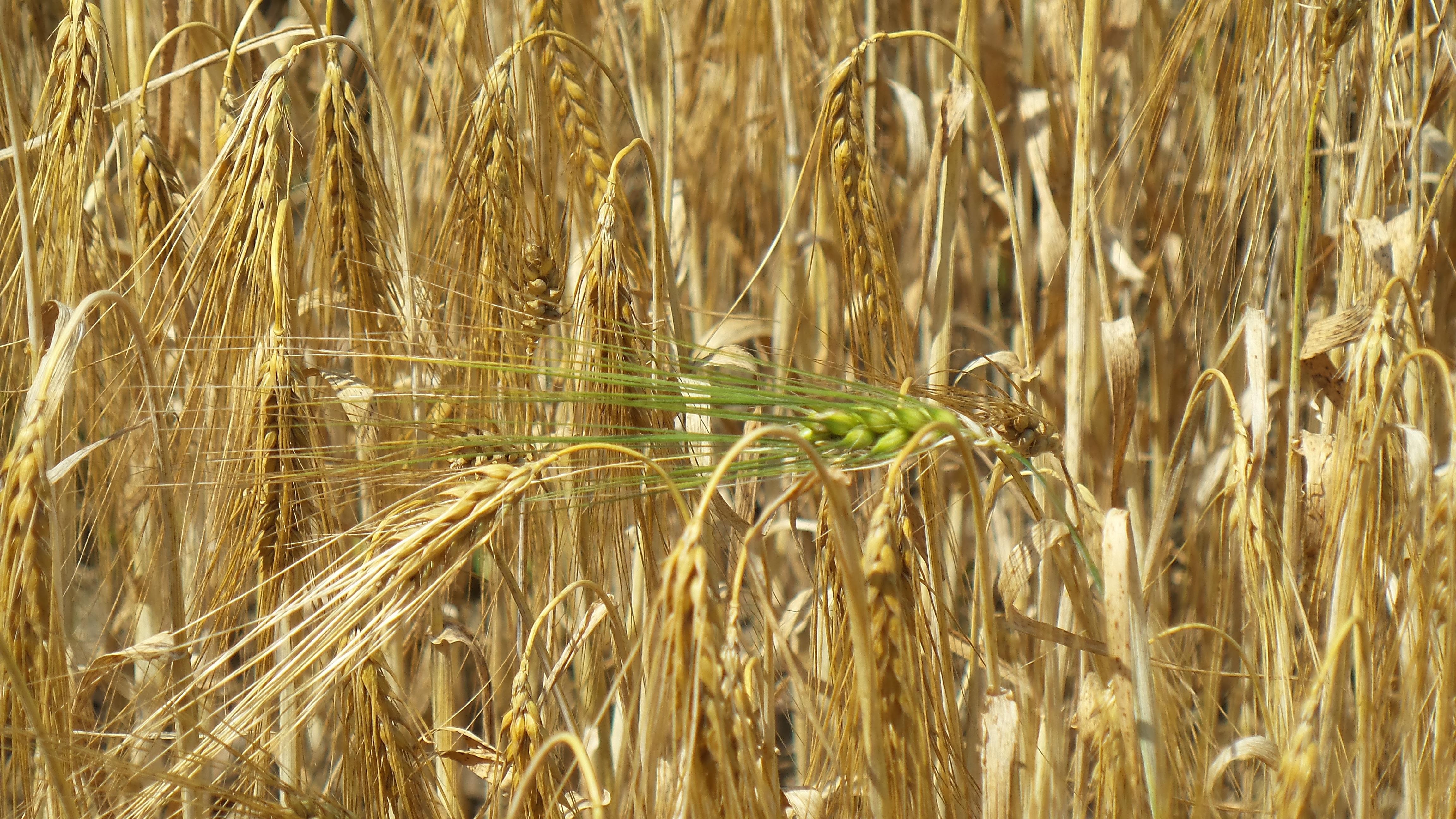 свойственен немалый картинки пшеница ячмень рожь одном селе возле