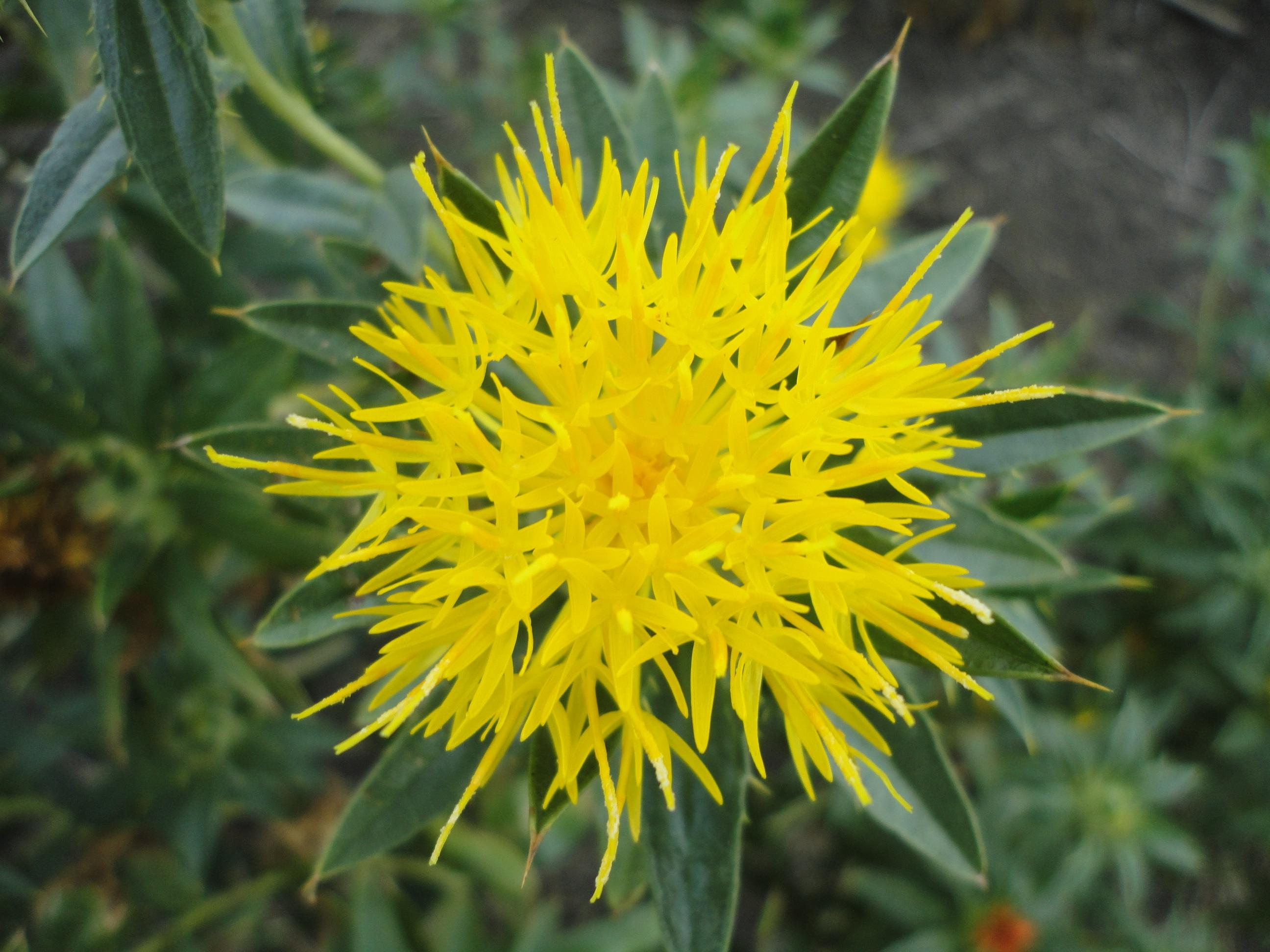 Free Images Nature Dandelion Petal Botany Flora Yellow Flower