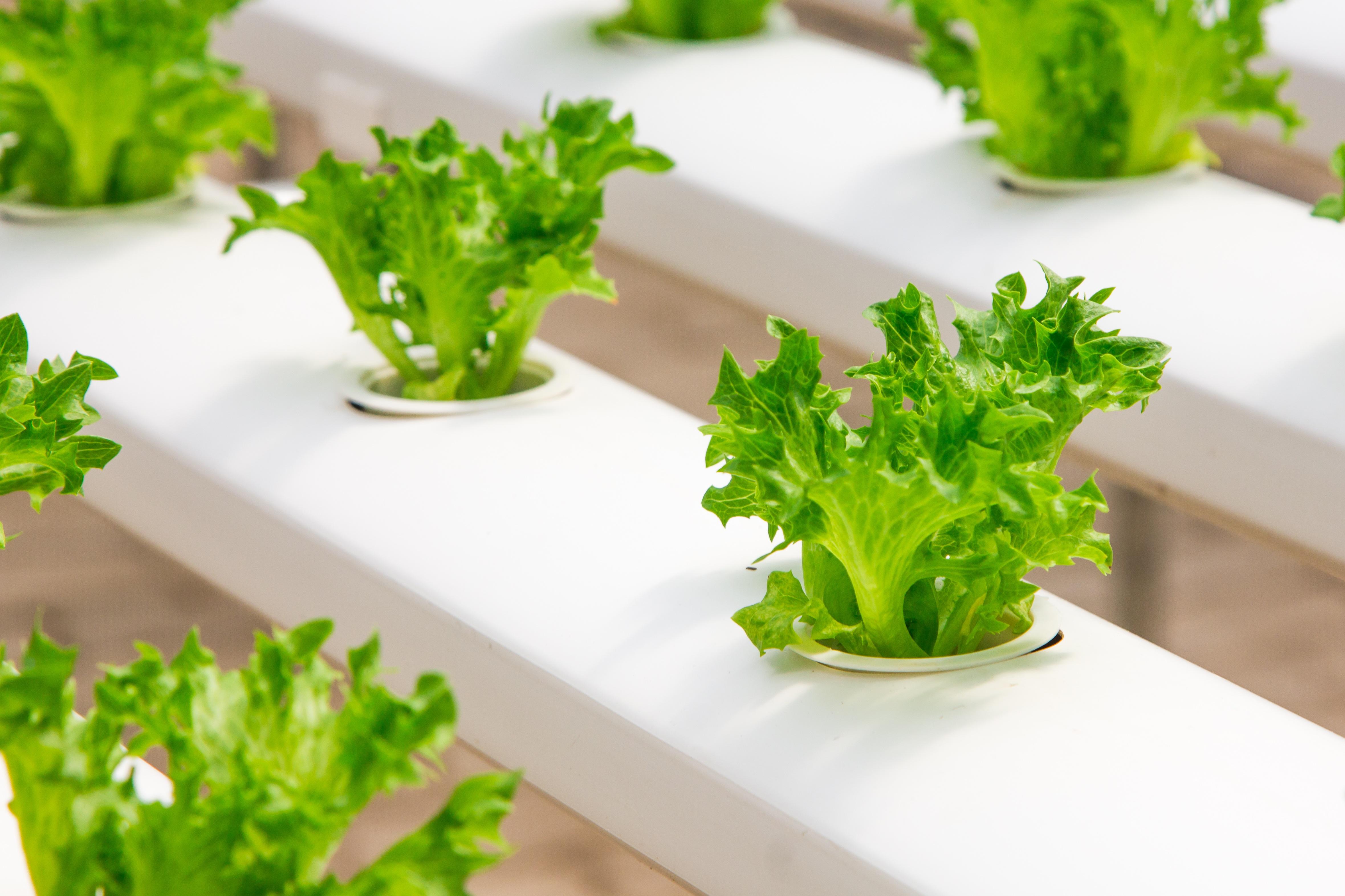 fresco industria jardn salud invernadero brcoli lechuga cultivo creciente pepino cultura orgnico plntulas hidropnico