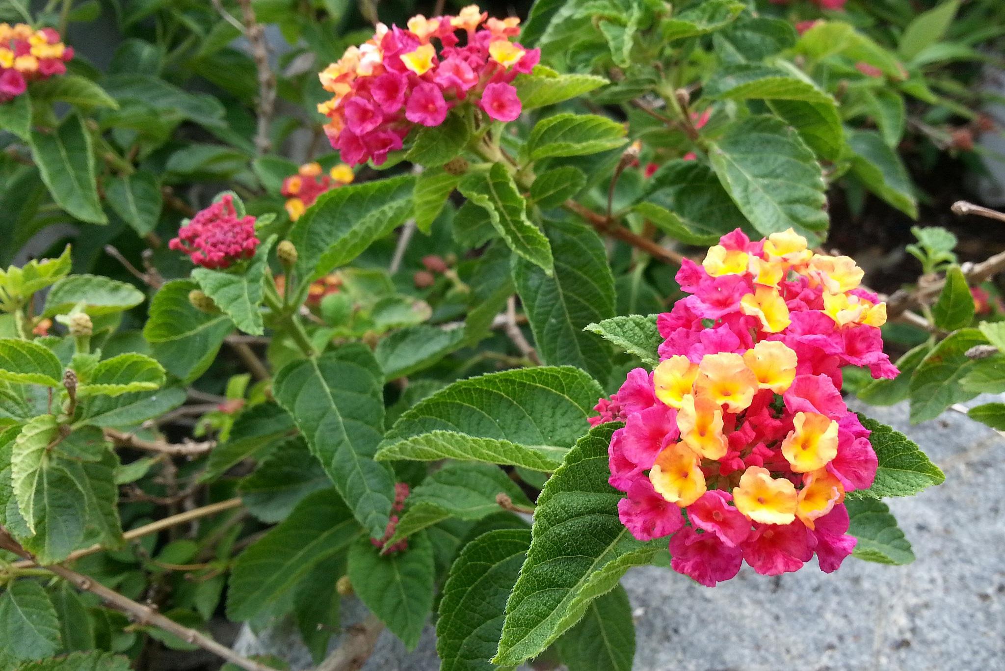 Garden Verbena Leaves Garden Ftempo