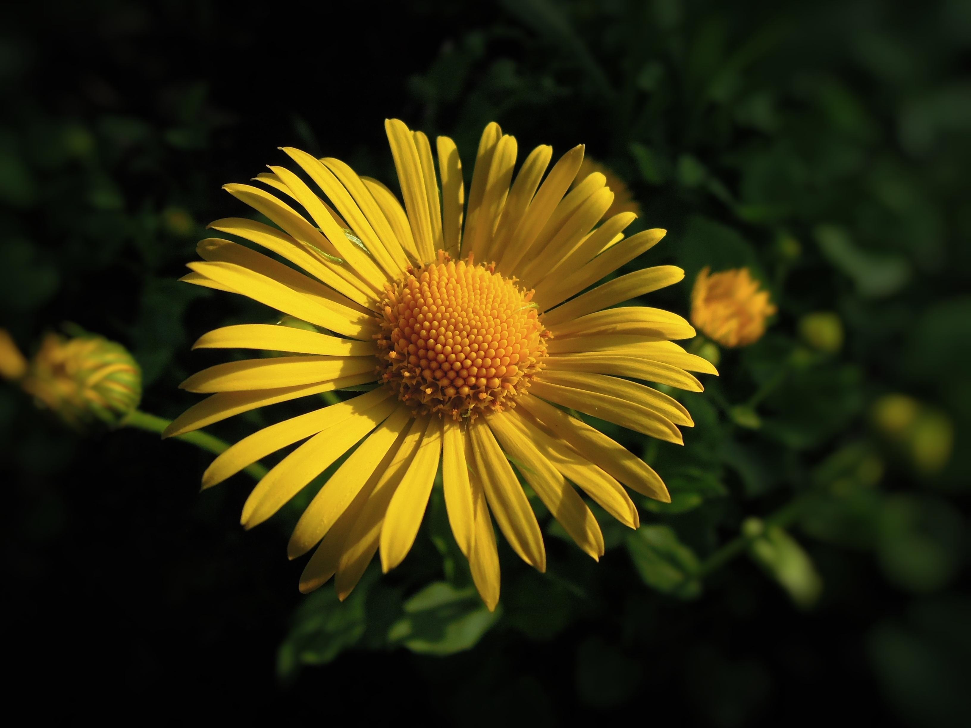 Images Gratuites : la nature, champ, pétale, Marguerite, vert ...
