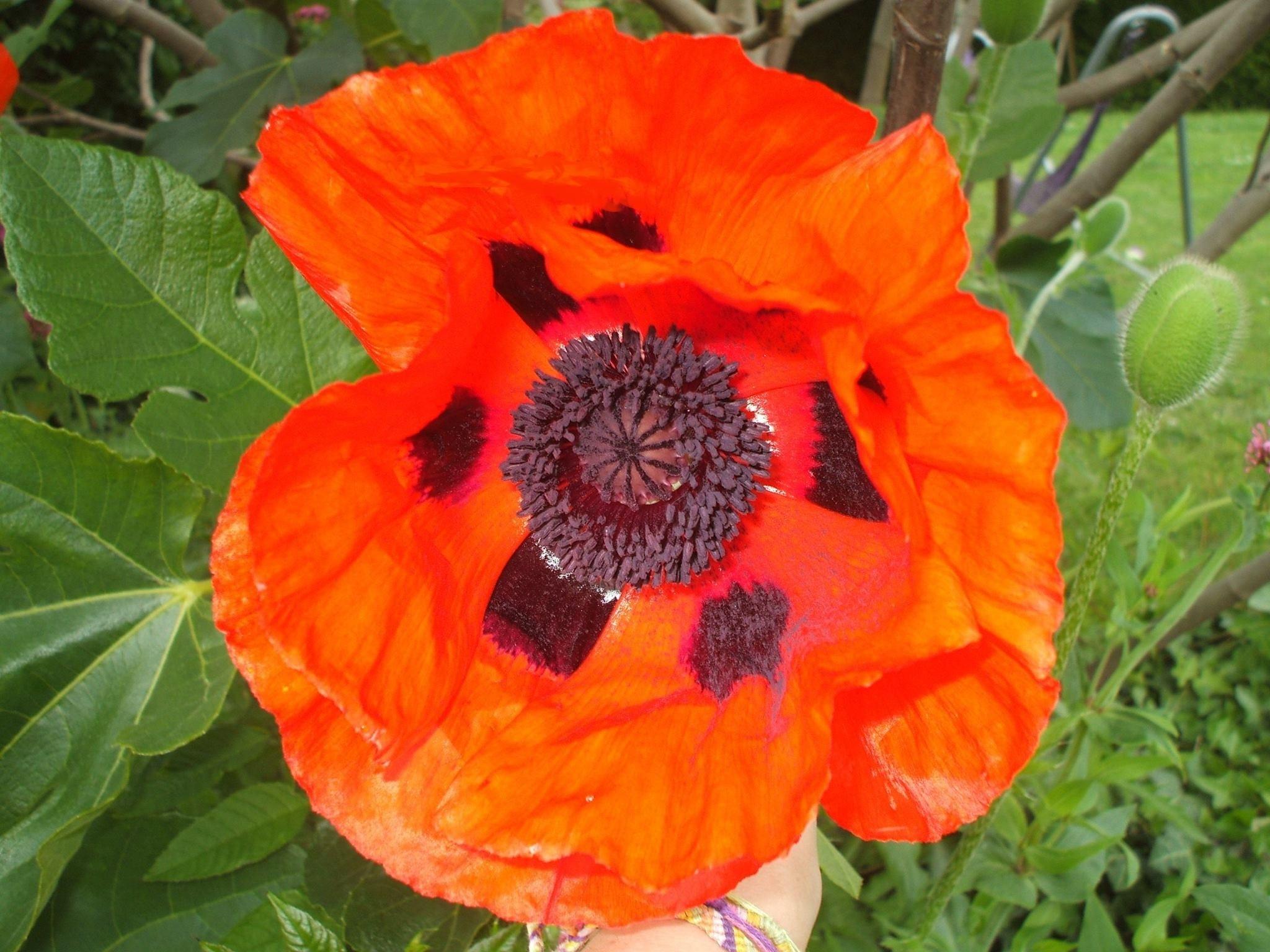 Images Gratuites  la nature, champ, fleur, pétale, été, Orange, printemps,  rouge, botanique, jardin, flore, Fleur sauvage, pétales, coquelicot,  Coquelicot,