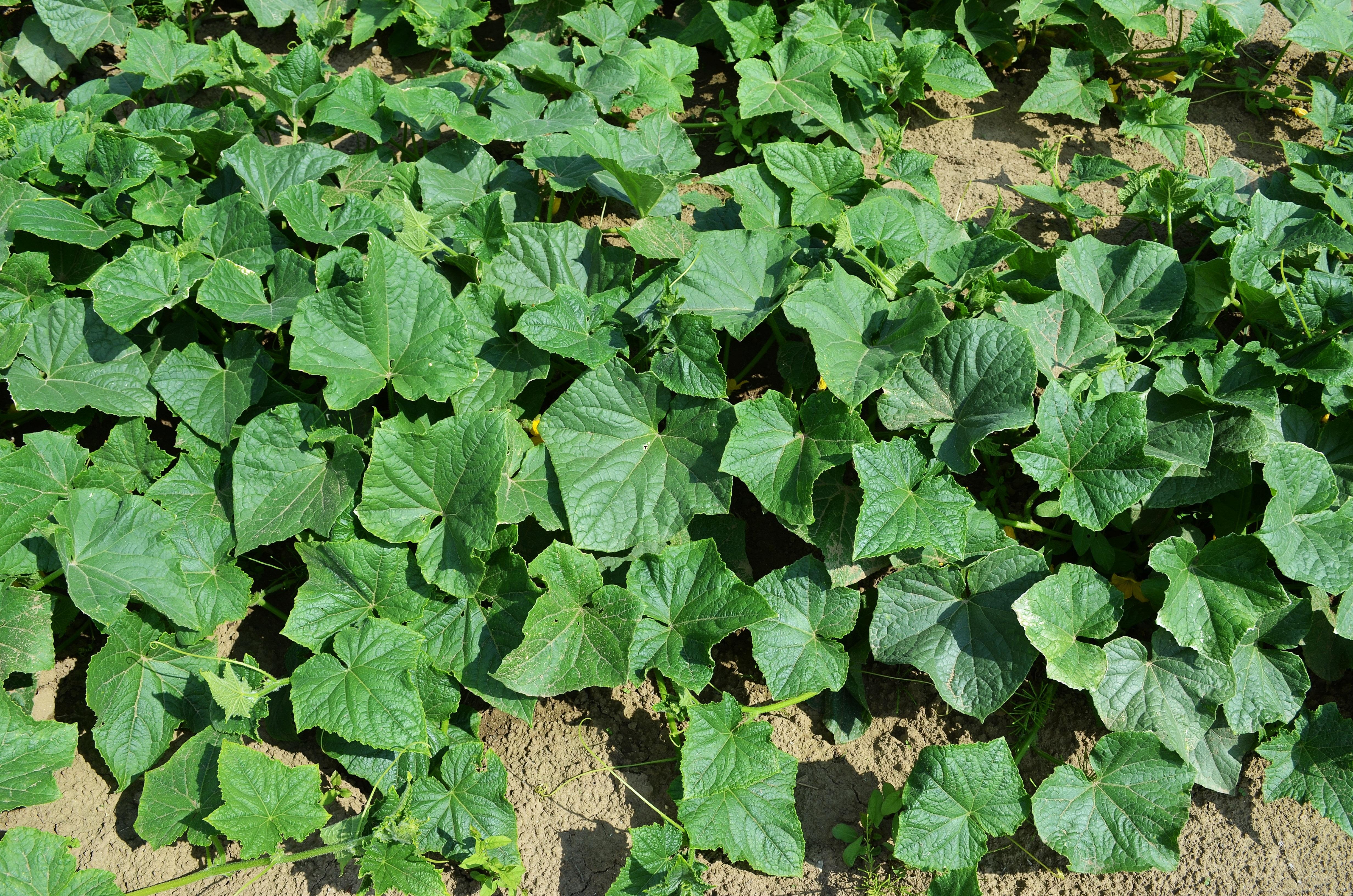 Kış için salatalık toplama