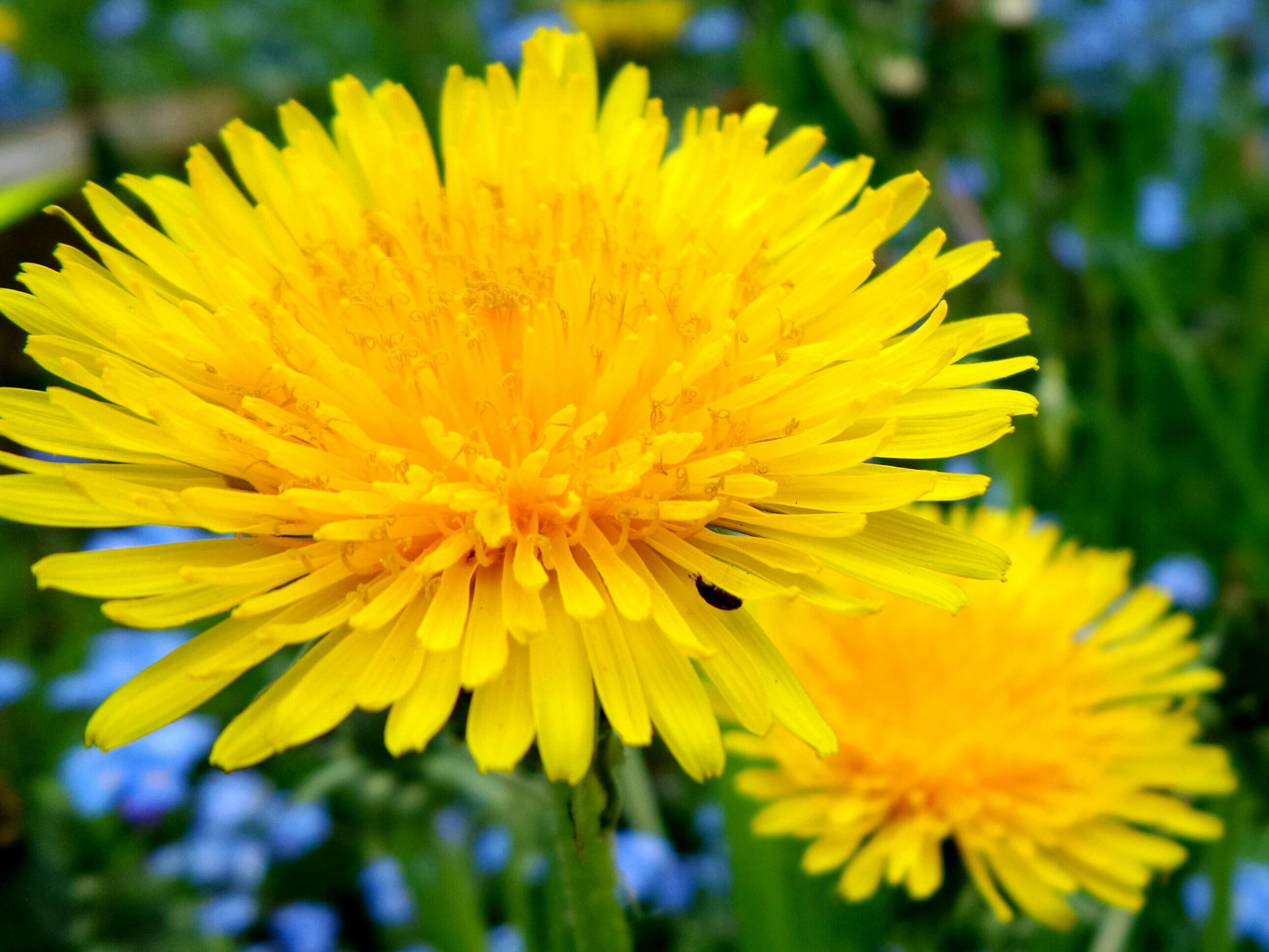 Картинки цветы одуванчика
