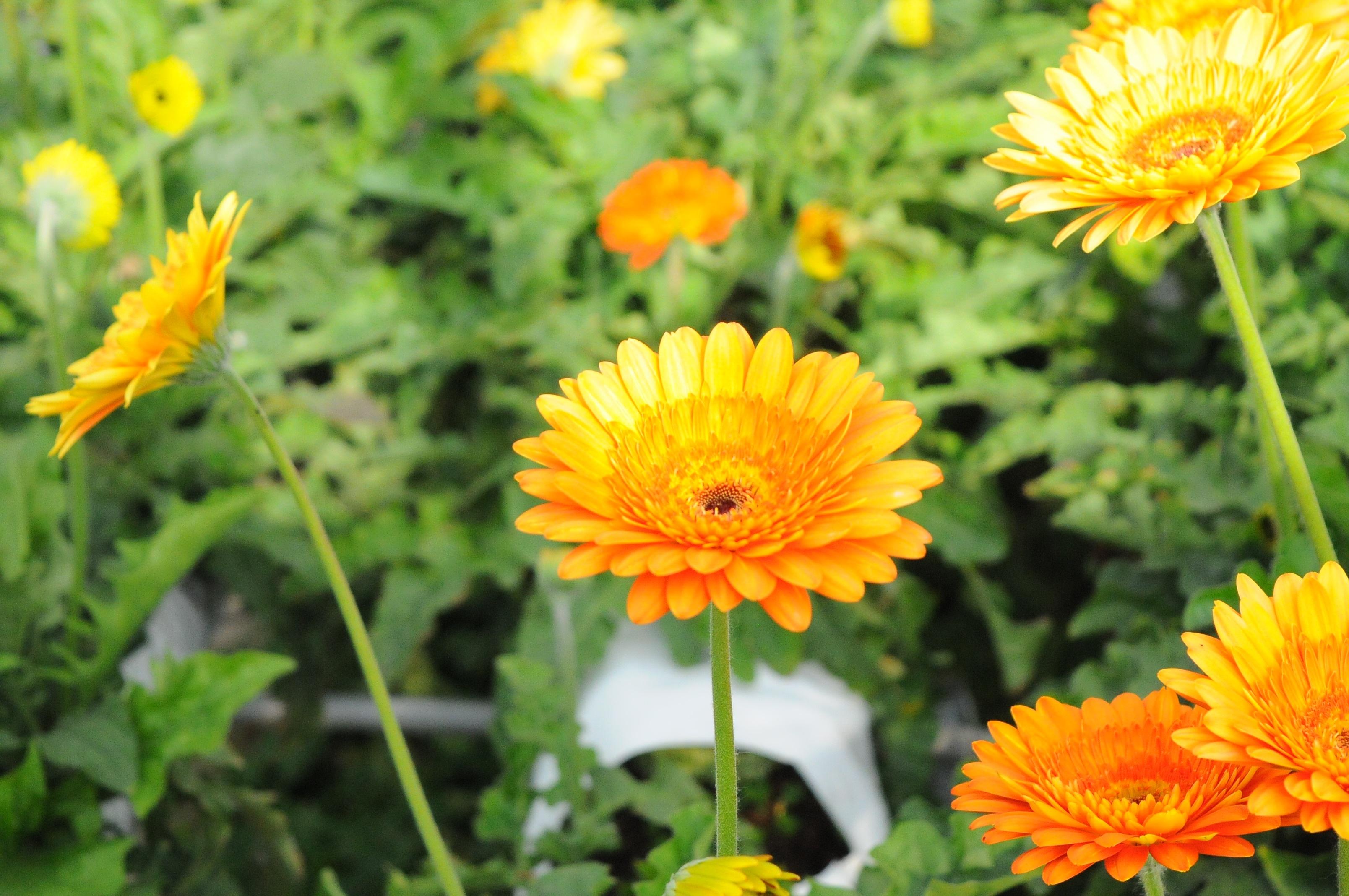 Free Images Nature Field Meadow Dandelion Prairie Flower