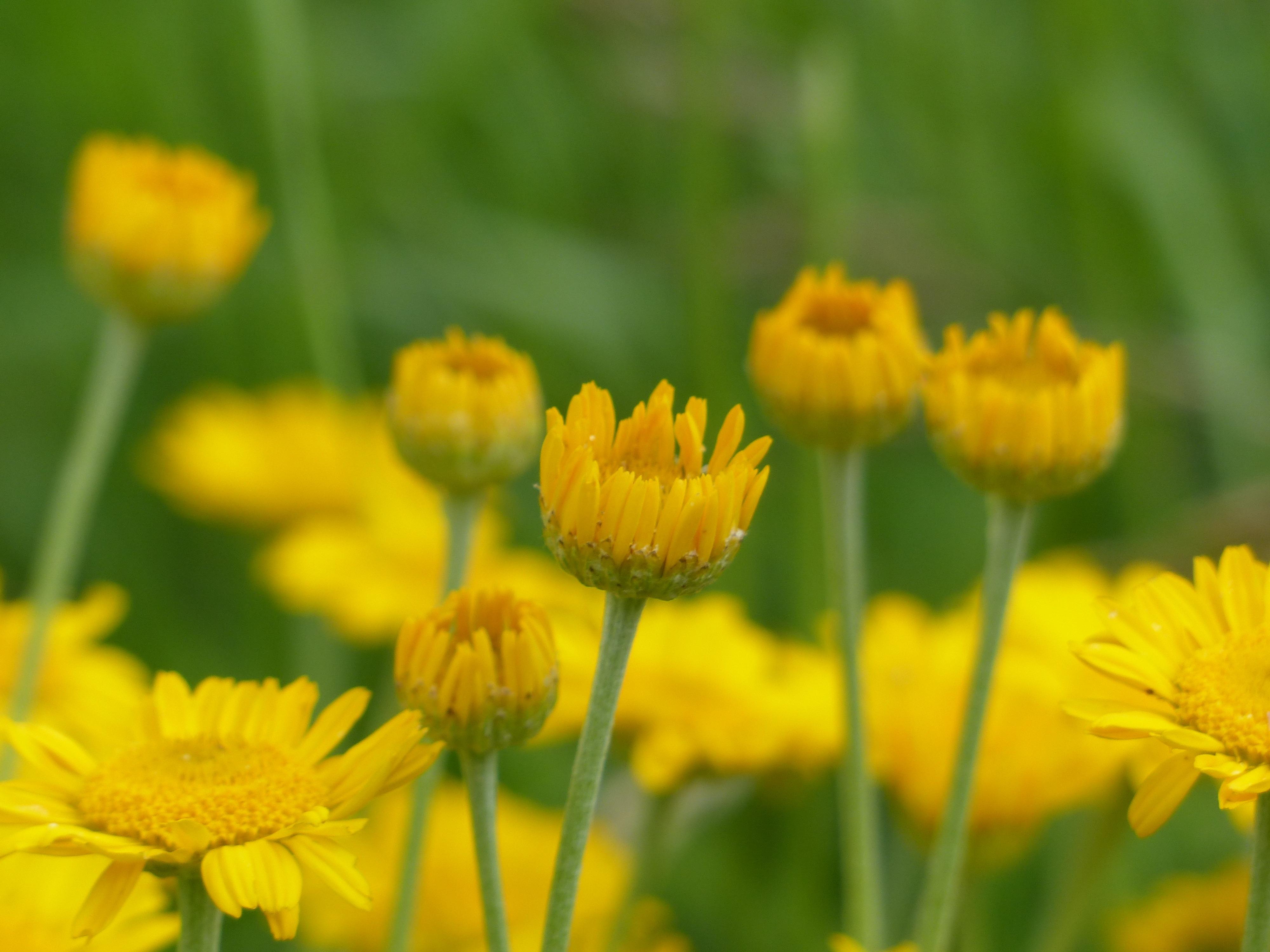 Free Images Nature Field Meadow Dandelion Prairie Herb Flora