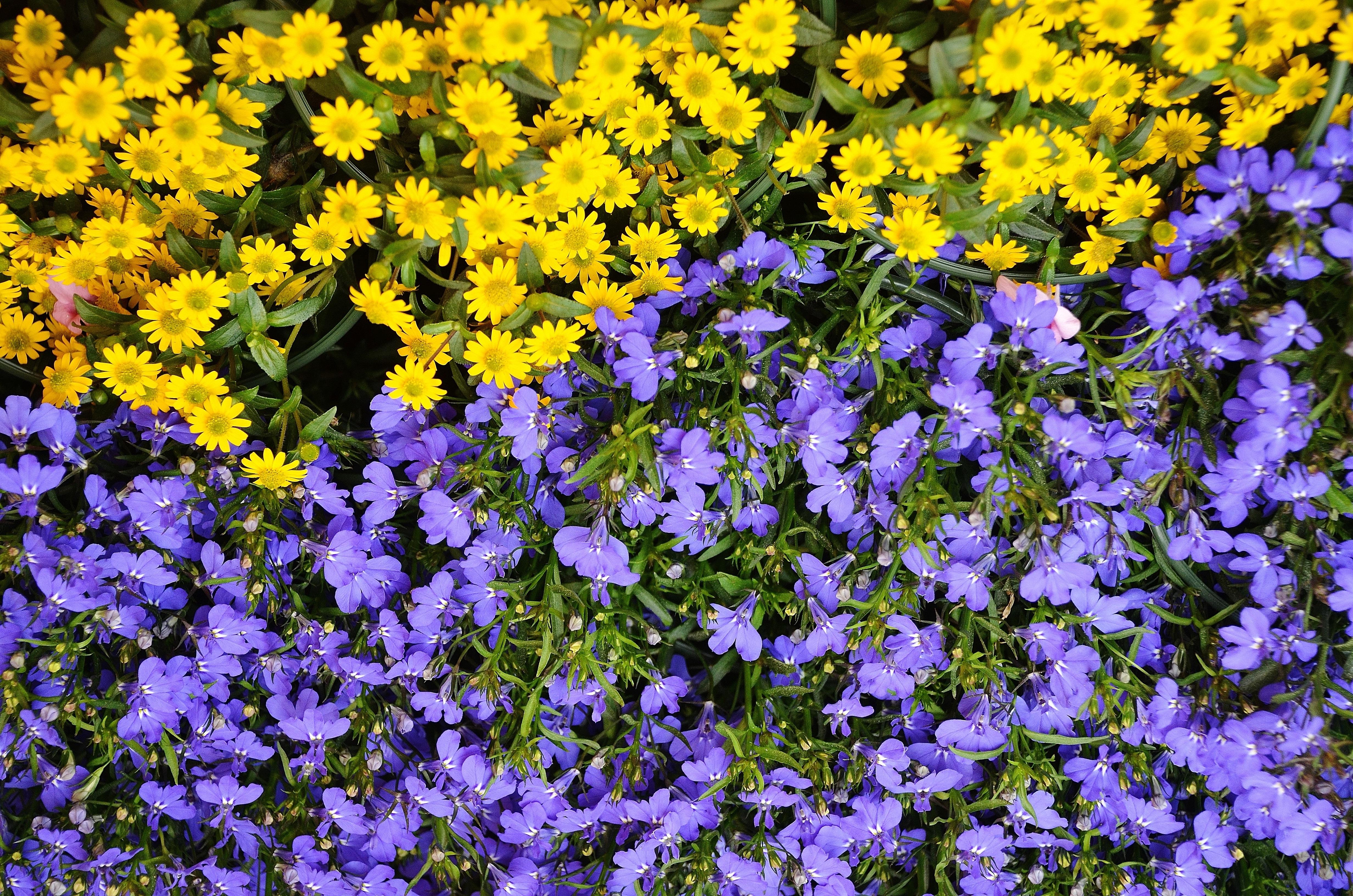 kostenlose foto natur feld wiese blume blau gelb flora wildblume blumen bl hende. Black Bedroom Furniture Sets. Home Design Ideas
