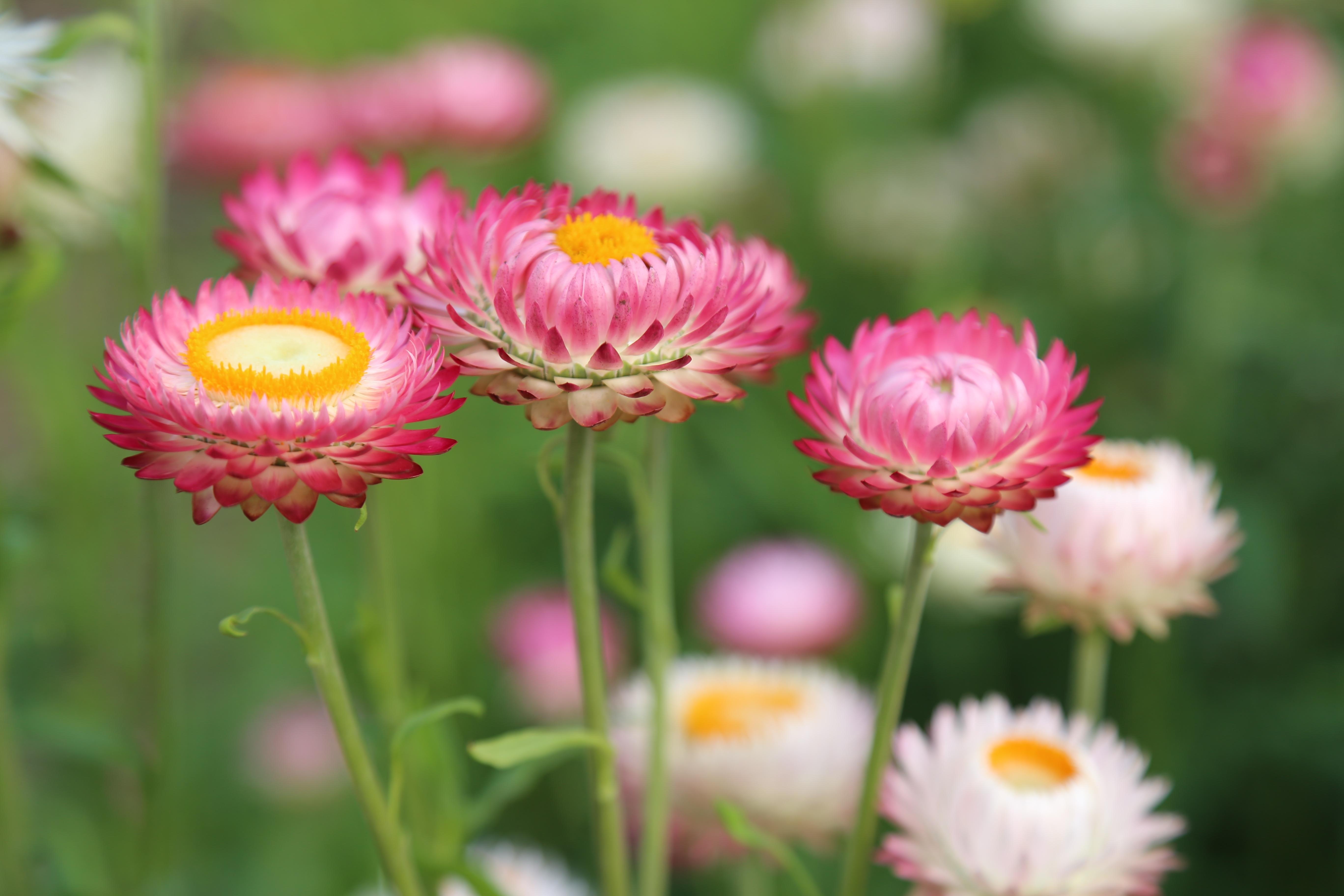 images gratuites la nature champ prairie fleur p tale floraison t botanique color. Black Bedroom Furniture Sets. Home Design Ideas