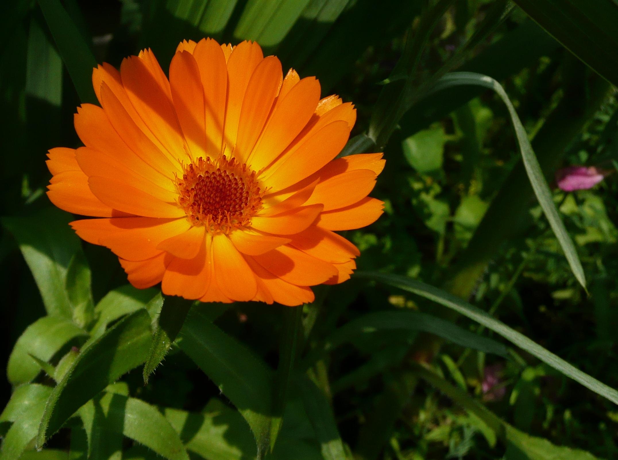 Pianta Fiori Arancioni.Immagini Belle Natura Prato Fiore Petalo Erba Botanica